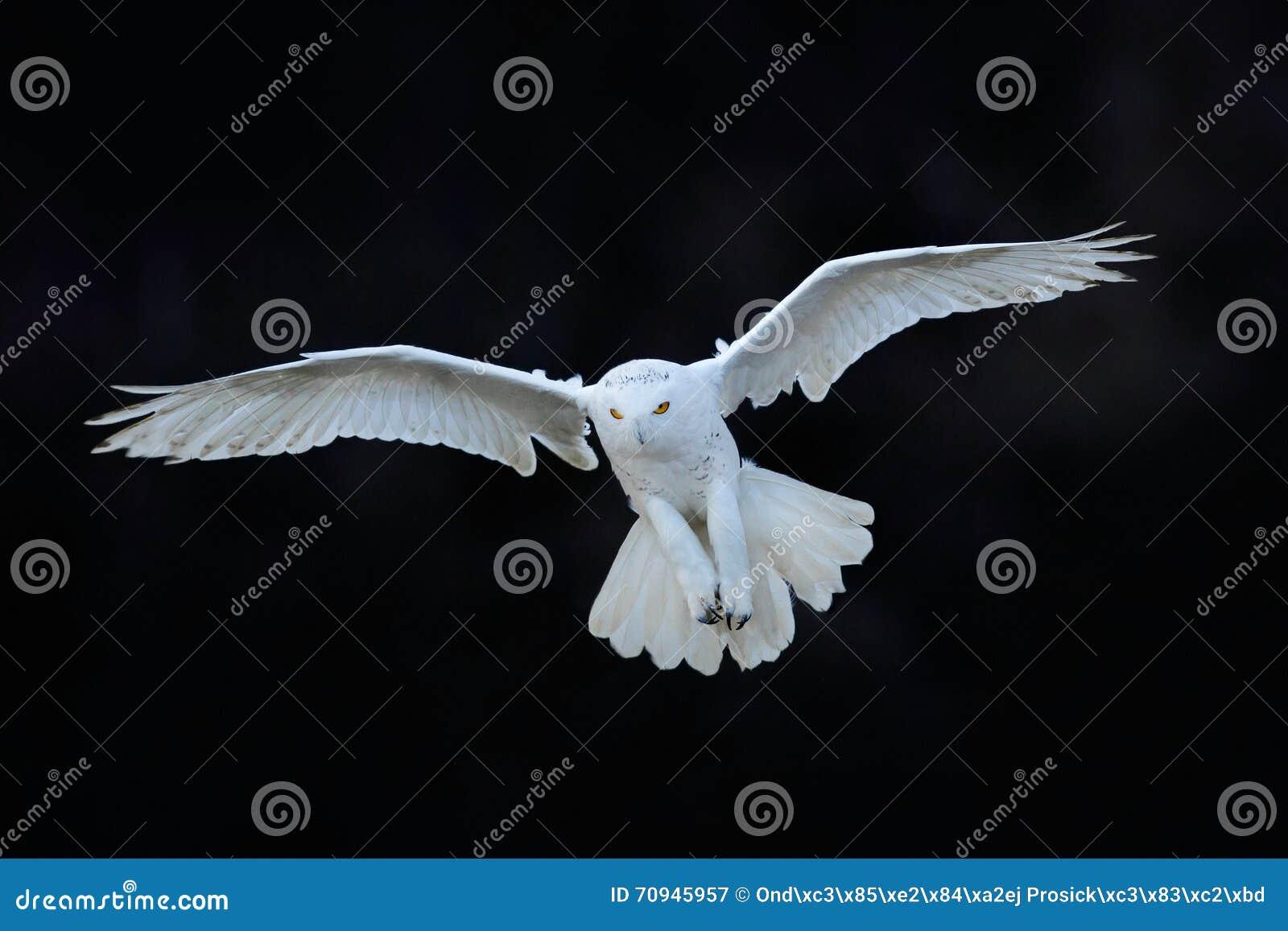 Χιονόγλαυκα, scandiaca Nyctea, άσπρο σπάνιο πουλί που πετά στο σκοτεινό δάσος, σκηνή χειμερινής δράσης με τα ανοικτά φτερά, Καναδ
