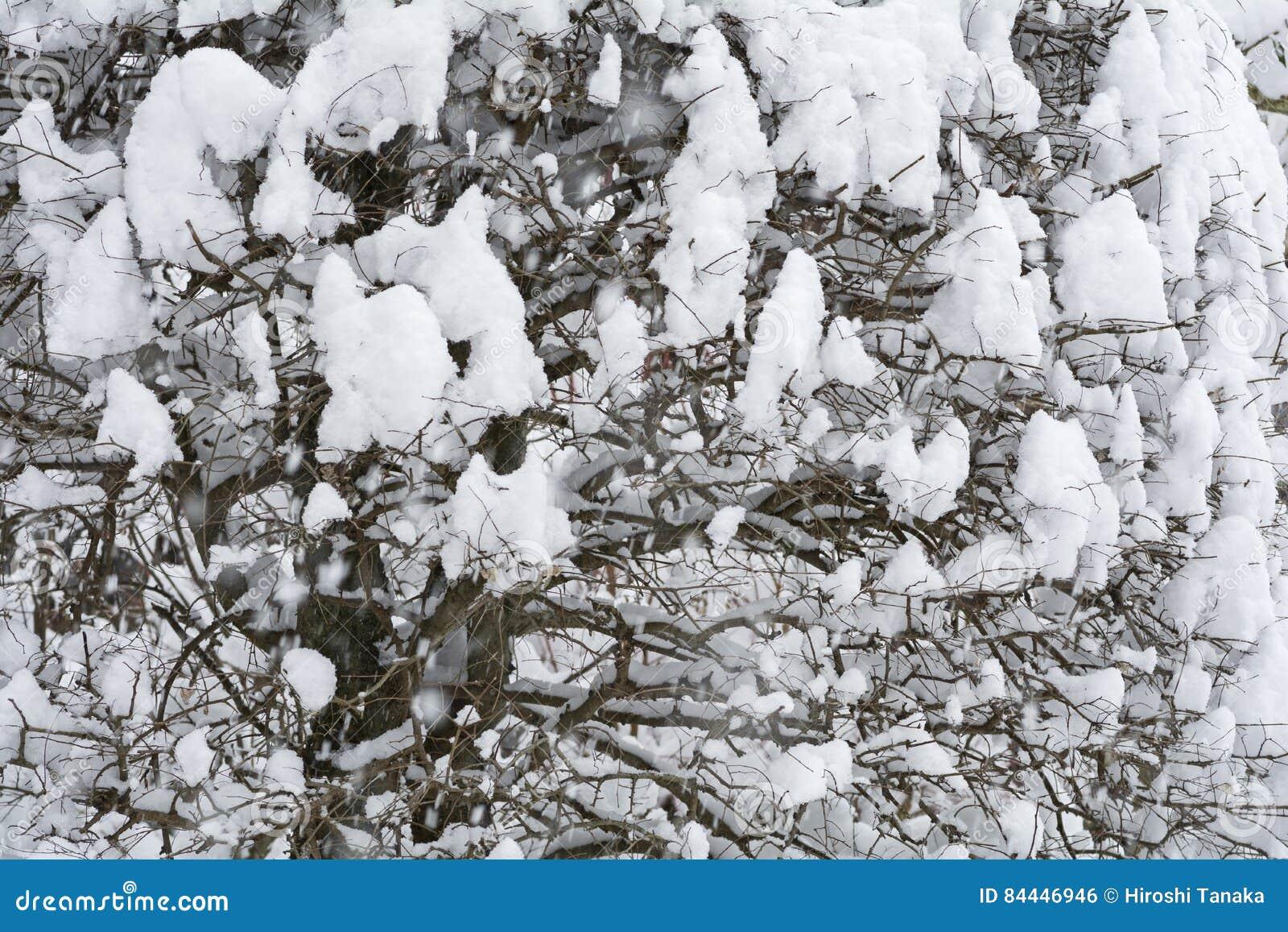 Χιονώδες δέντρο zelkova