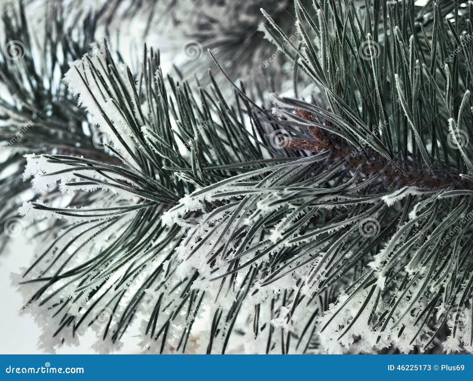 Χιονώδης στενός επάνω κλάδων πεύκων
