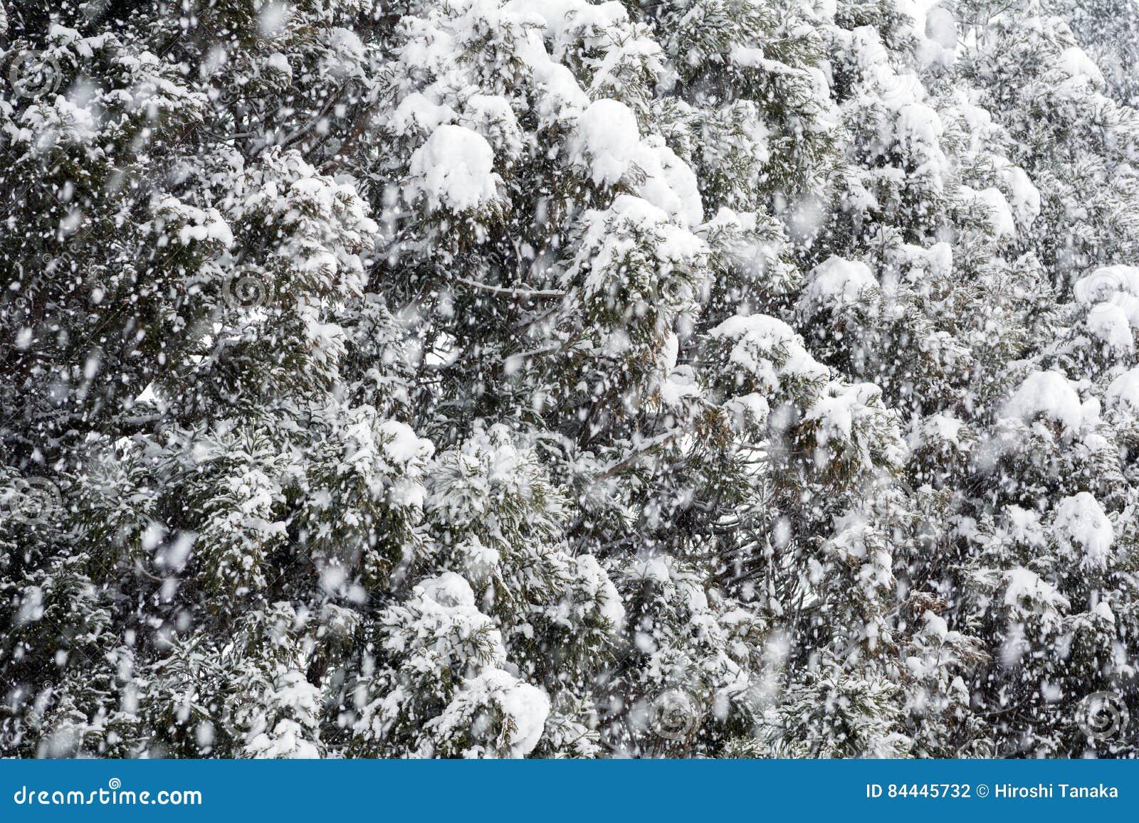 Χιονώδη δέντρα κωνοφόρων