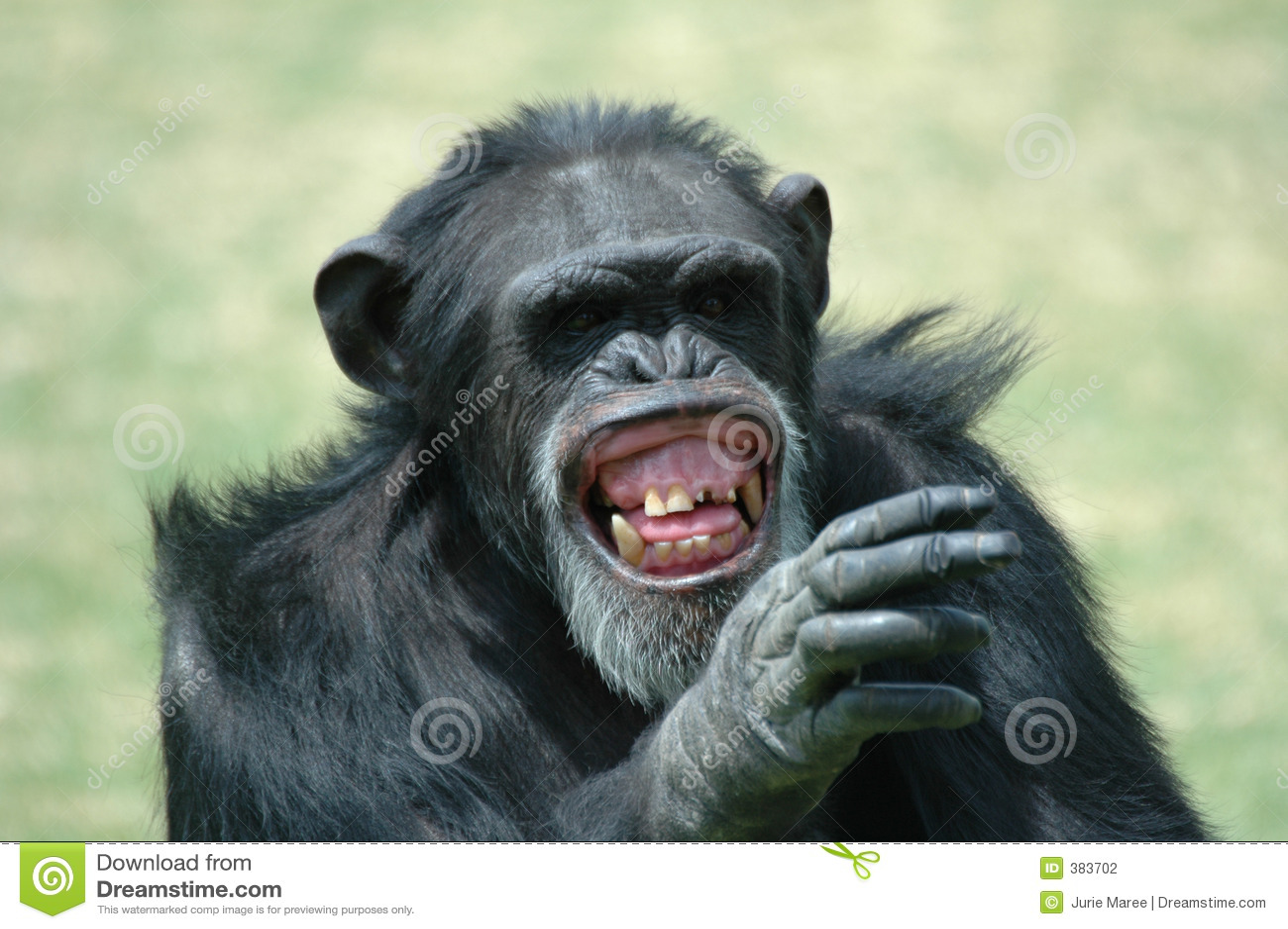 χιούμορ χιμπατζήδων