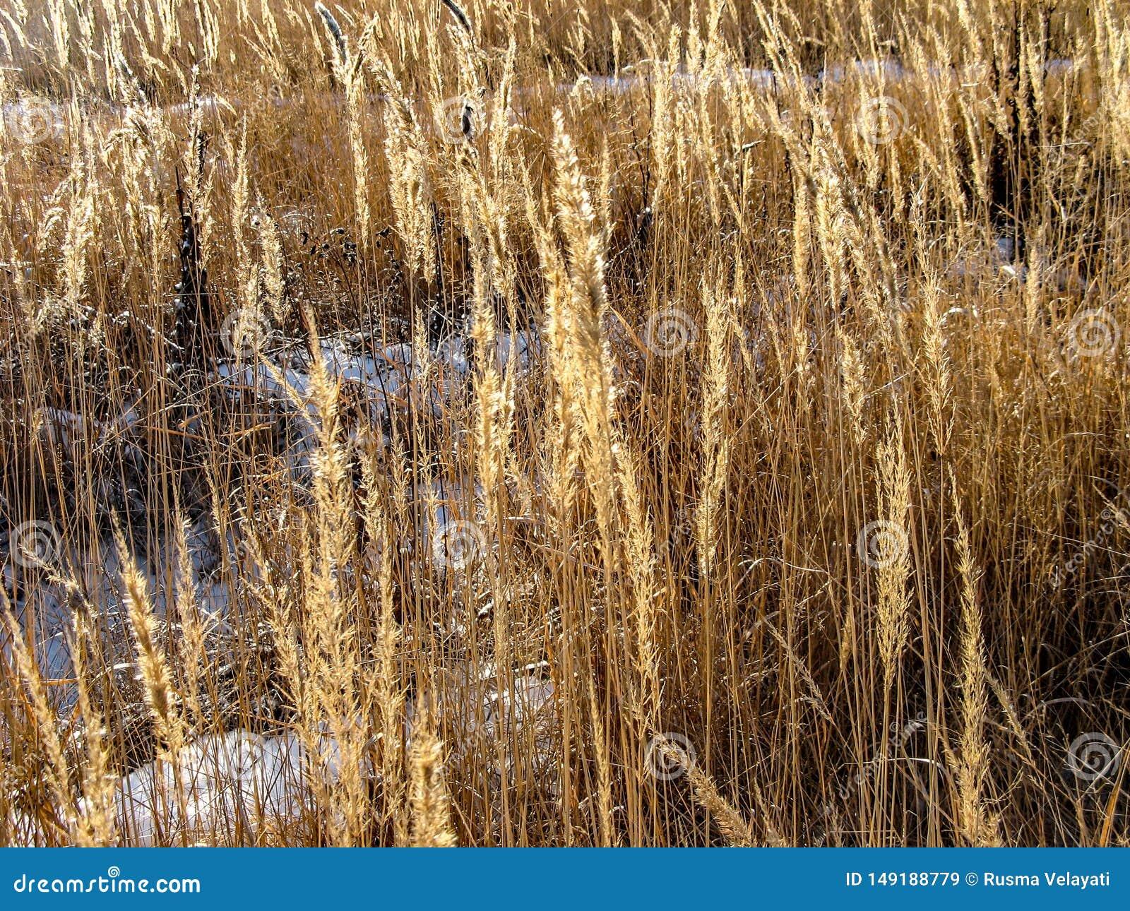 Χιόνι μεταξύ του τομέα σίτου στη Σιβηρία, Ρωσία