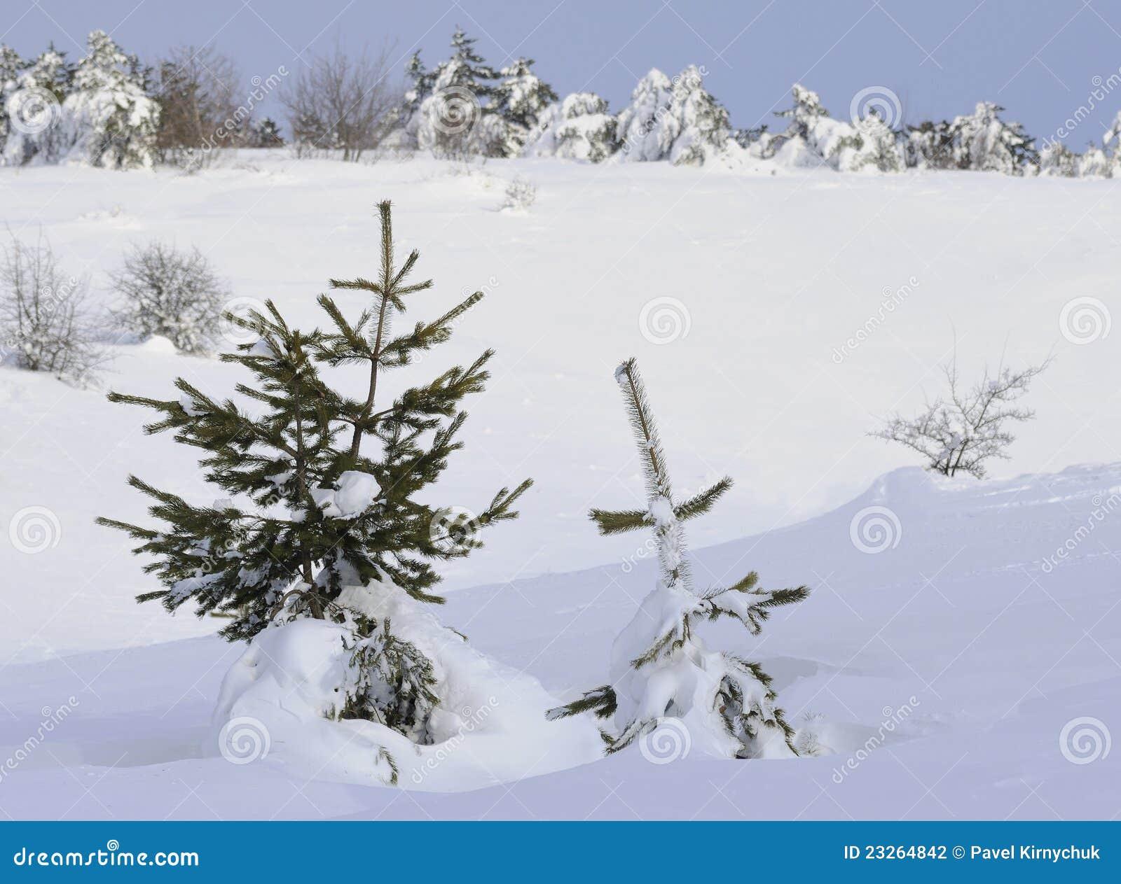 χιόνι πεύκων κάτω