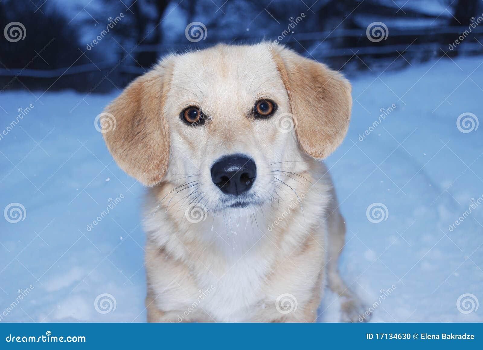 χιόνι σκυλιών