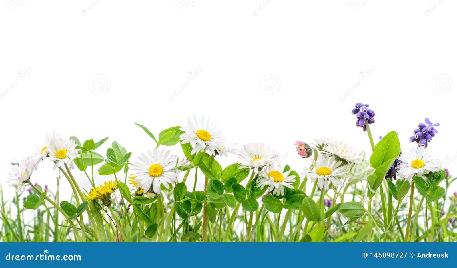 Χλόη άνοιξη και απομονωμένο wildflowers υπόβαθρο μαργαριτών