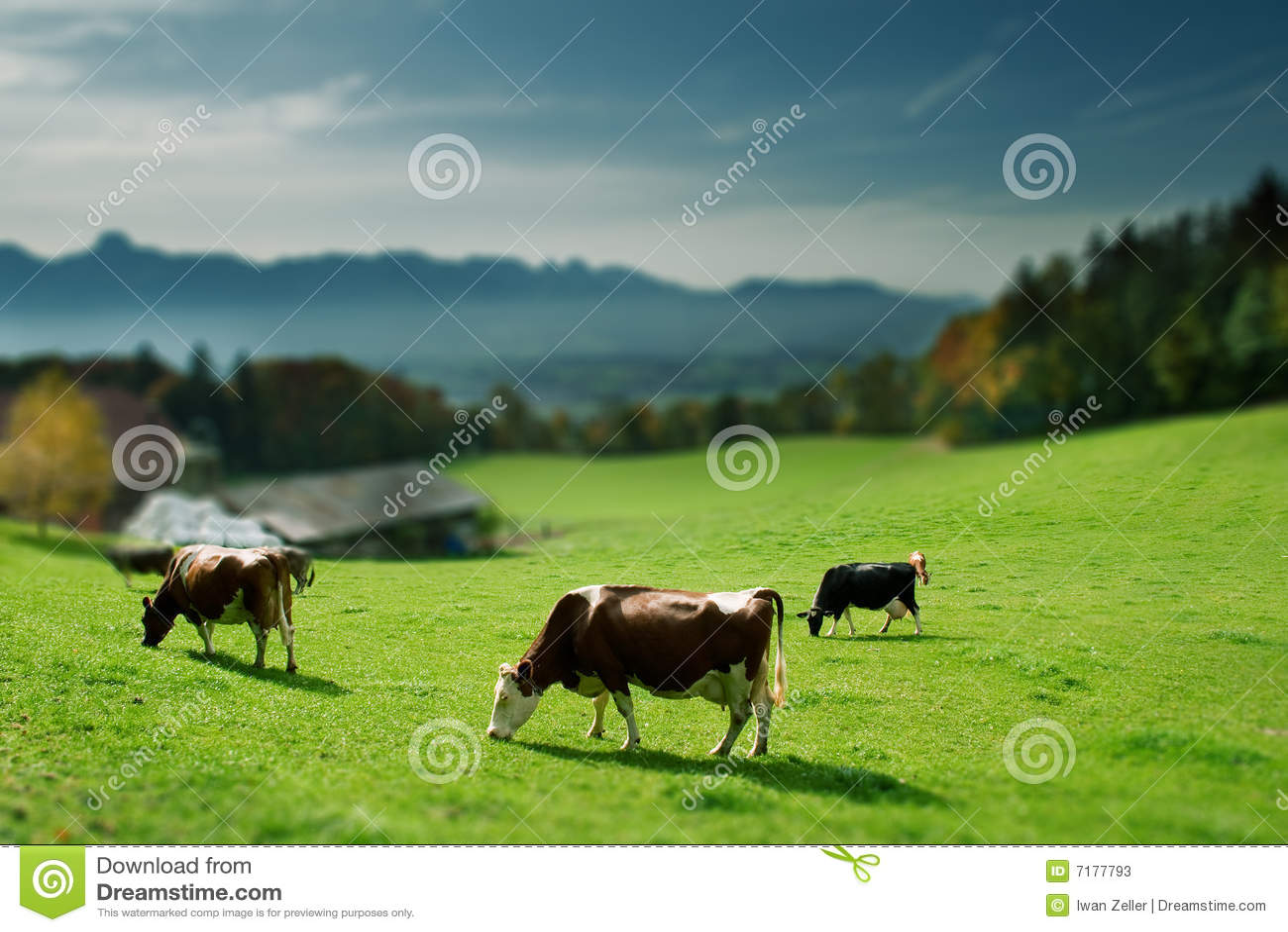 χλόη αγελάδων πράσινη