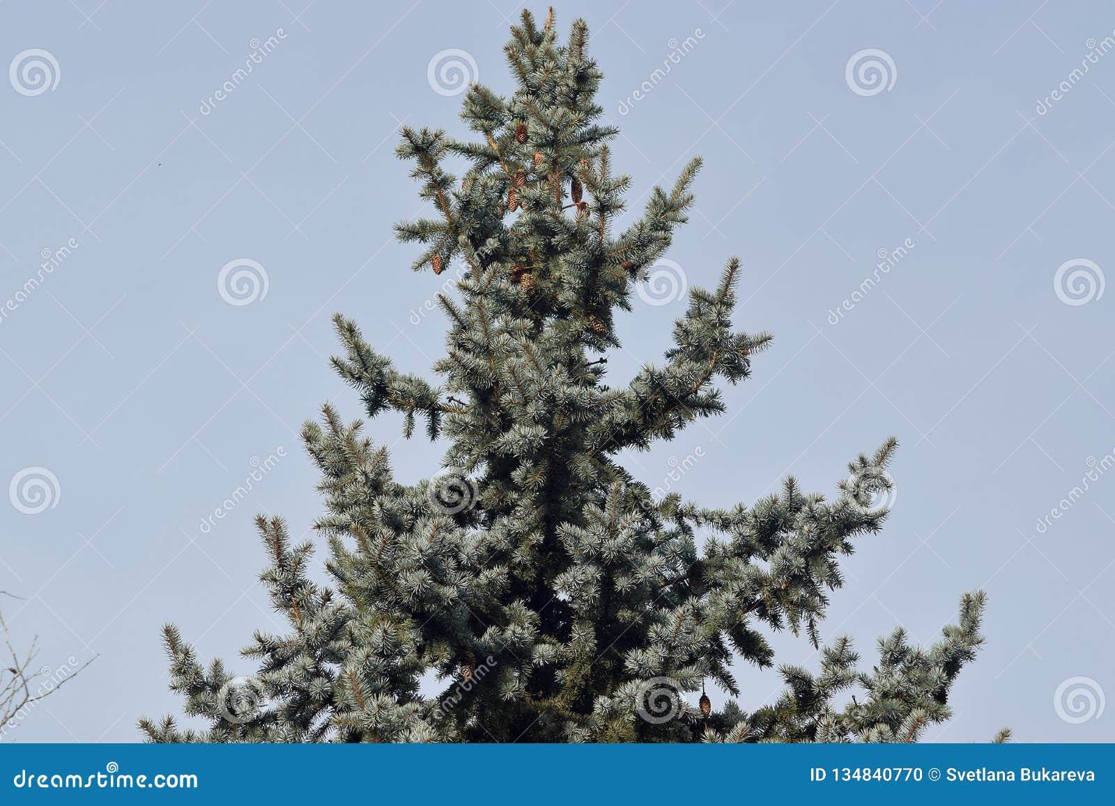 Χνουδωτό πράσινο δέντρο με τους κώνους στην κορυφή