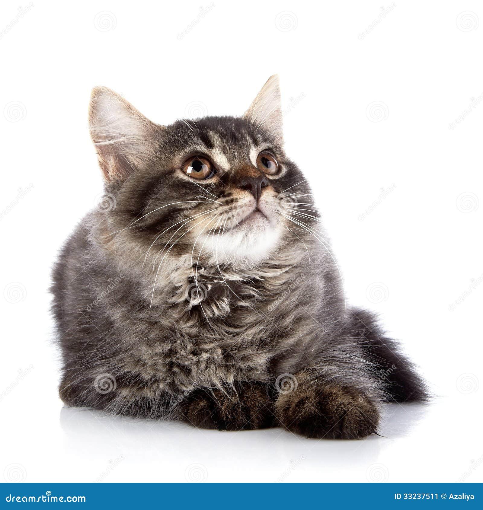 9750b97fb4f9 Χνουδωτή γάτα με τα καφετιά μάτια. Στοκ Εικόνα - εικόνα από γάτα ...