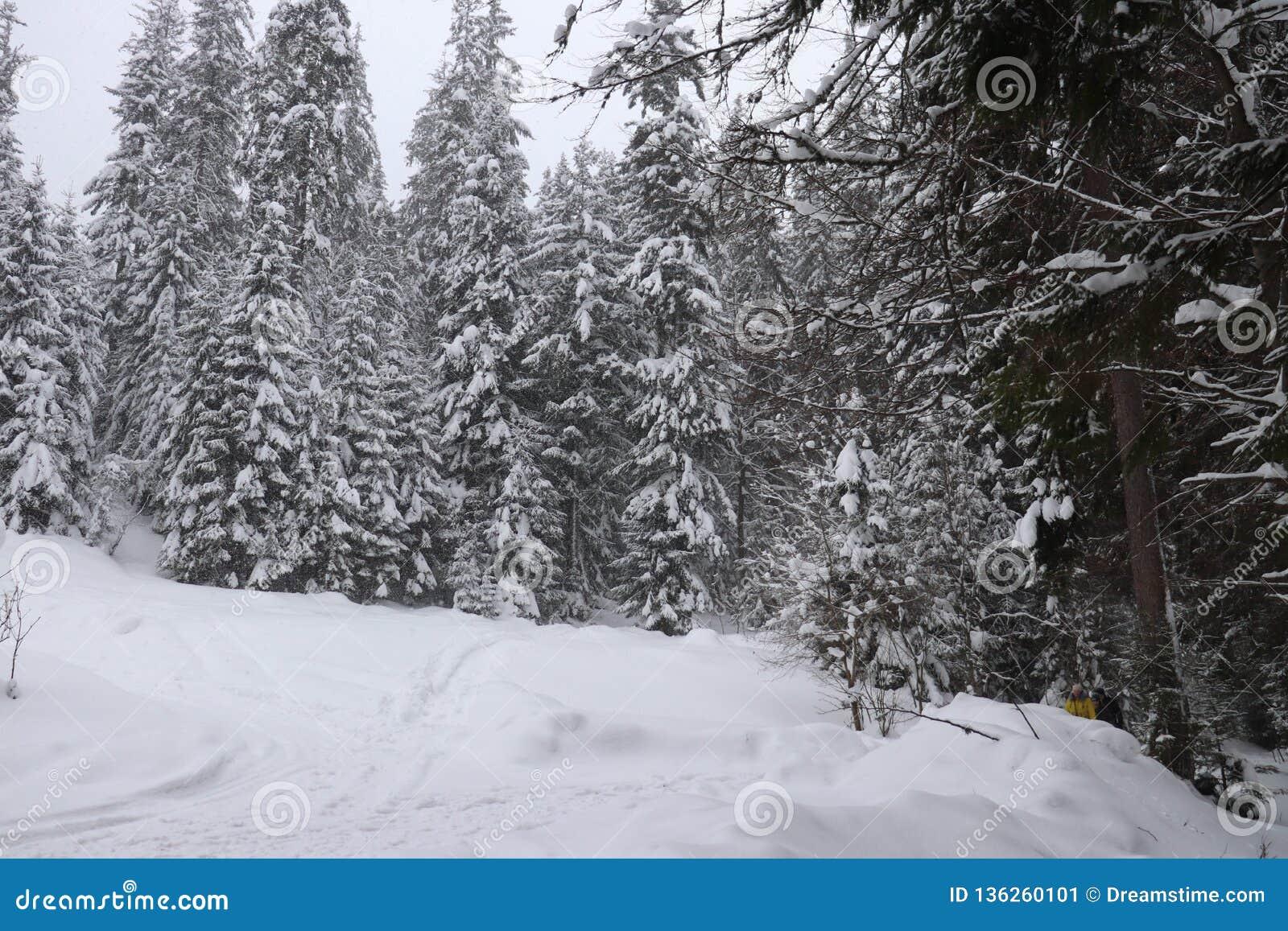 Χριστουγεννιάτικα δέντρα στο χιόνι Υψηλός στα βουνά 2