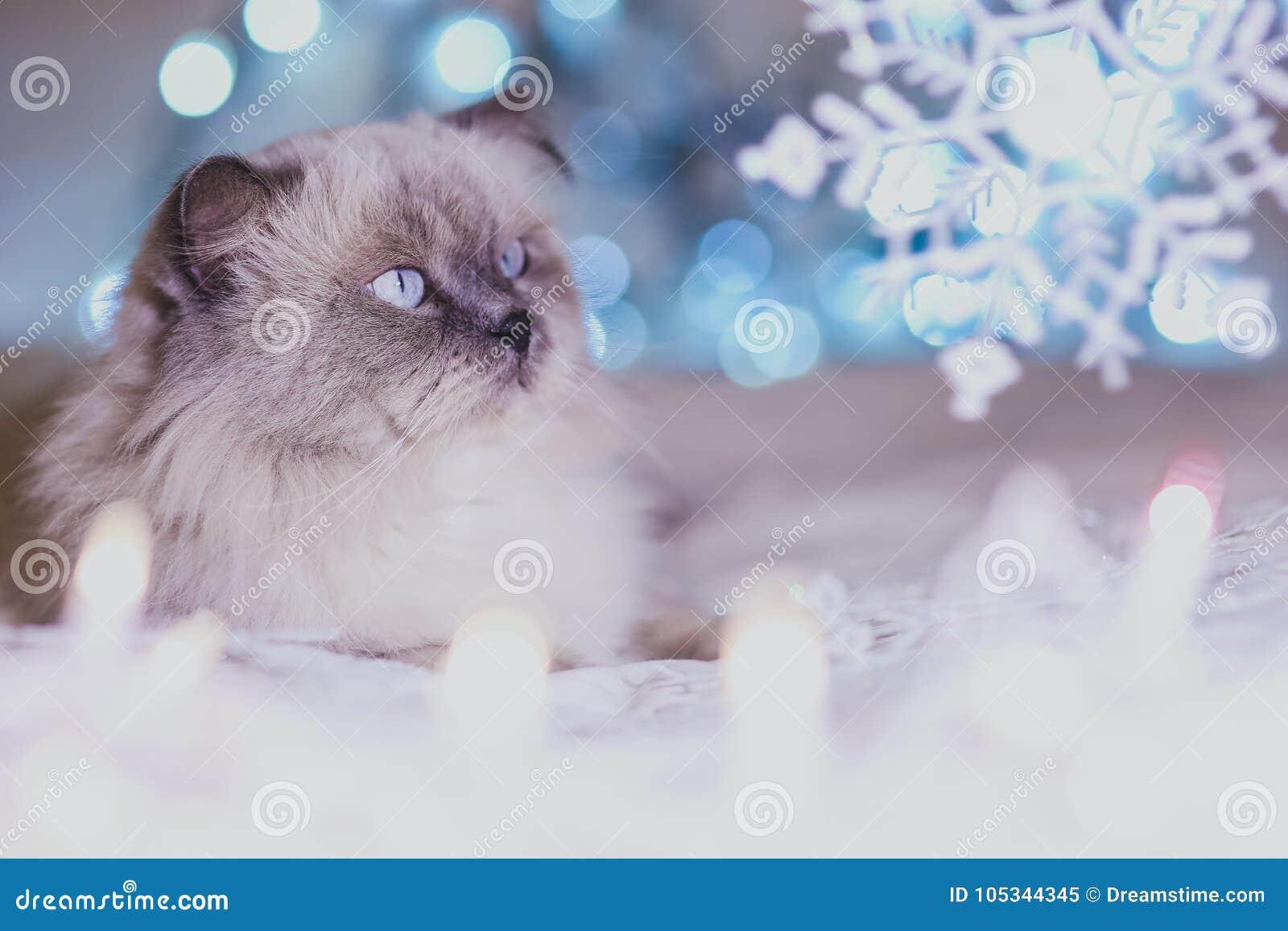 Χριστούγεννα, νέα γάτα διακοπών έτους ημερολογιακή, άνετο μπλε και άσπρο pi