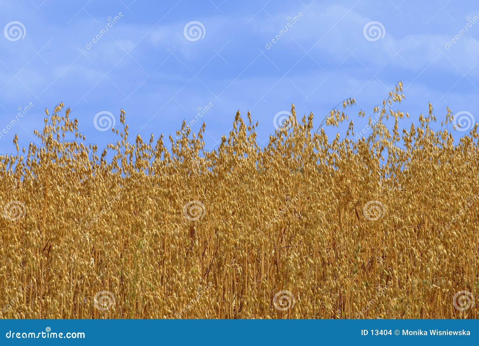 χρυσή βρώμη