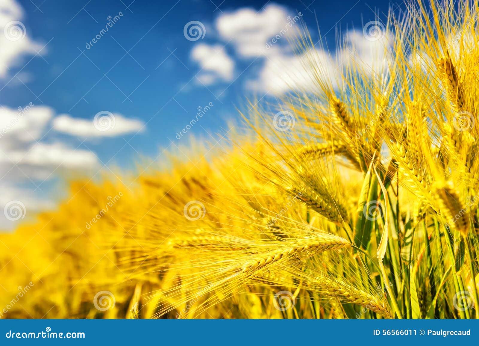 Download χρυσός σίτος πεδίων στοκ εικόνα. εικόνα από ανασκόπησης - 56566011