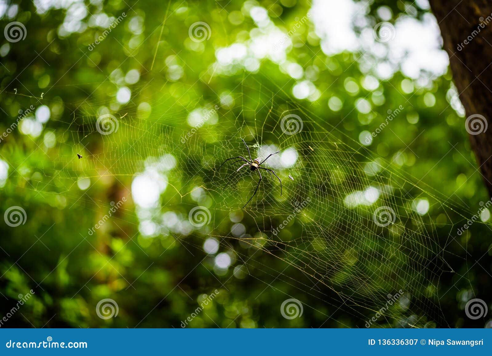 Χρυσός υφαντής Nephila σφαιρών μεταξιού ή γιγαντιαίες ξύλινες αράχνες, ή αράχνες μπανανών Μεγάλη ζωηρόχρωμη αράχνη στον Ιστό του