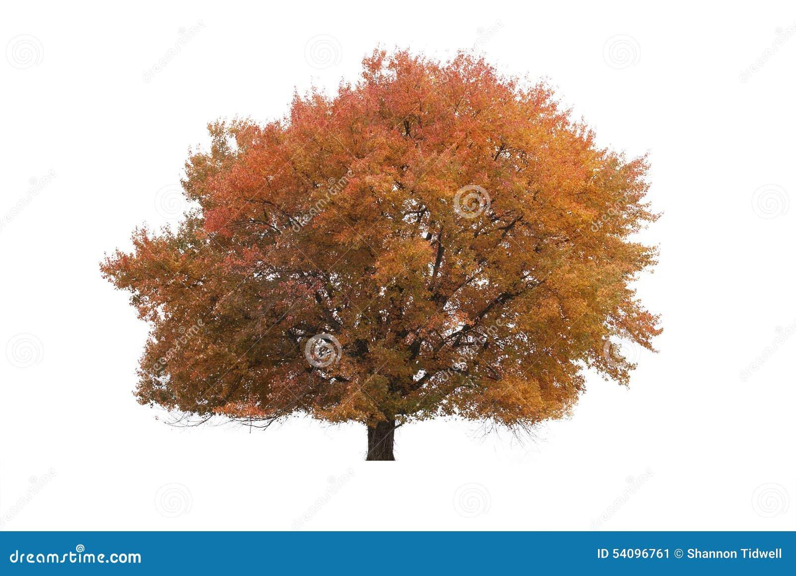 Χρυσό δέντρο φθινοπώρου στο απομονωμένο άσπρο υπόβαθρο