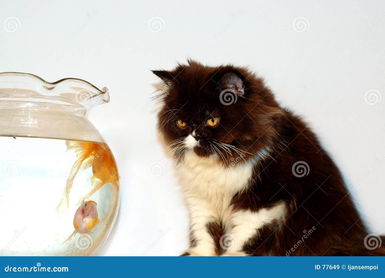 χρυσό κοίταγμα ψαριών γατών
