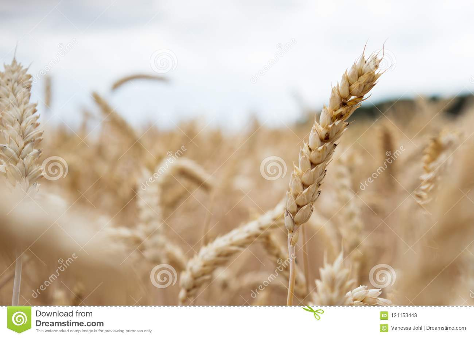 Χρυσό cornfield έτοιμο για τη συγκομιδή