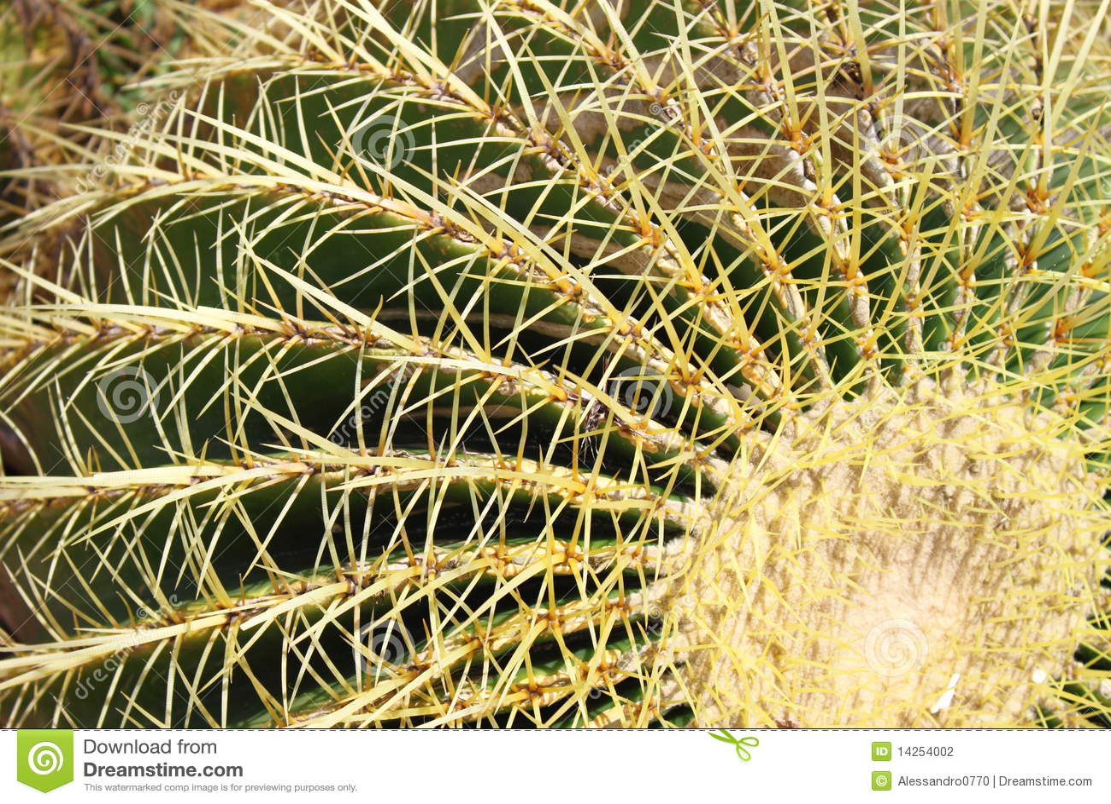 χρυσό grusonii echinocactus κάκτων βαρελιών