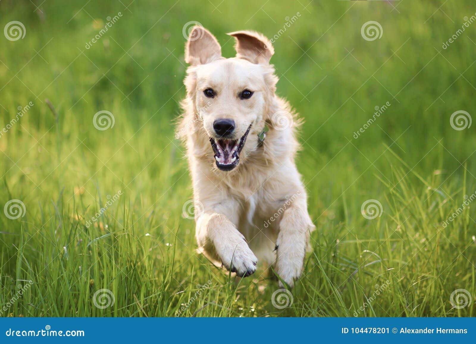 Χρυσό Retriever ευτυχές άλμα σκυλιών τρέχοντας στη κάμερα