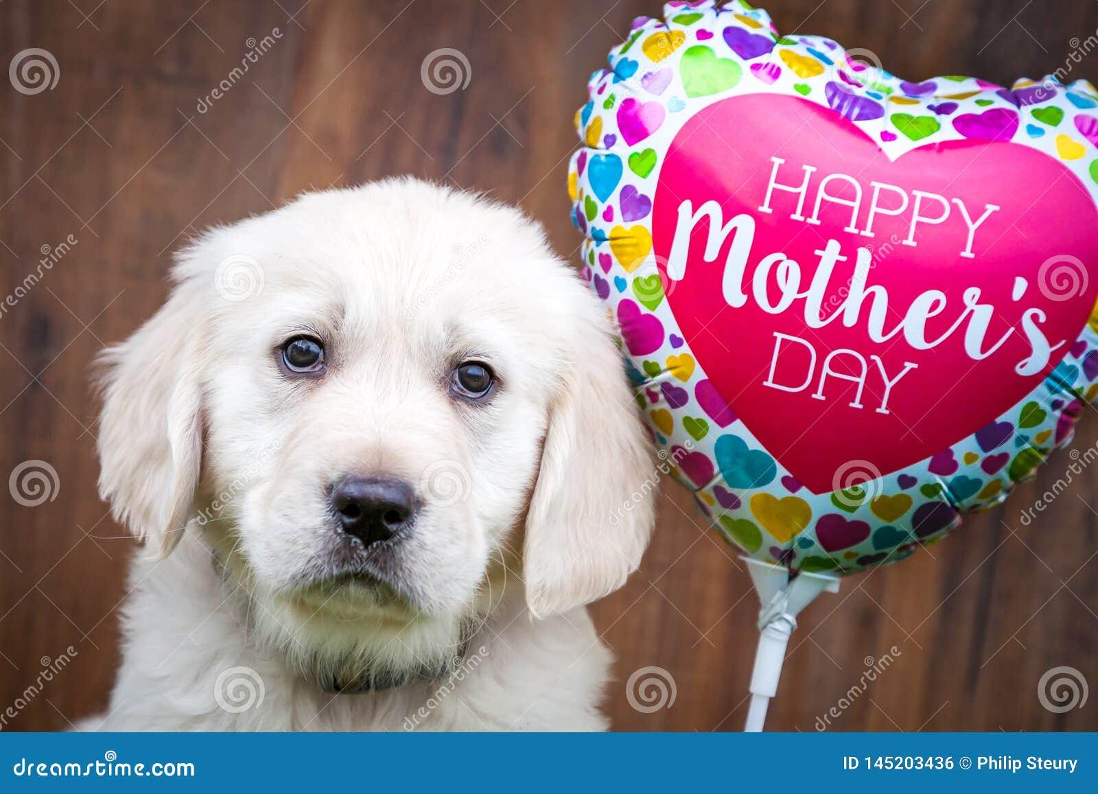 Χρυσό Retriever κουτάβι την ημέρα της μητέρας