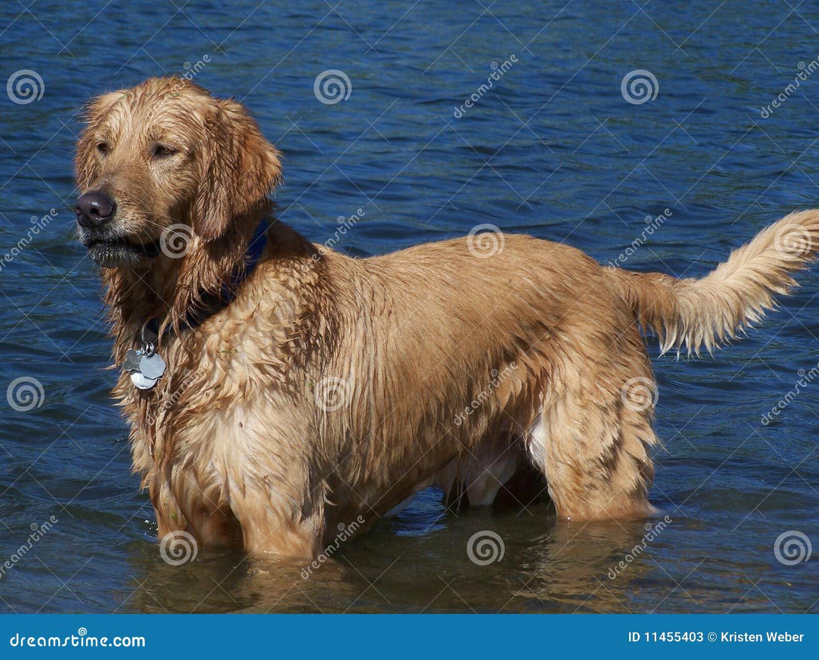 χρυσό retriever λιμνών μόνιμο ύδωρ