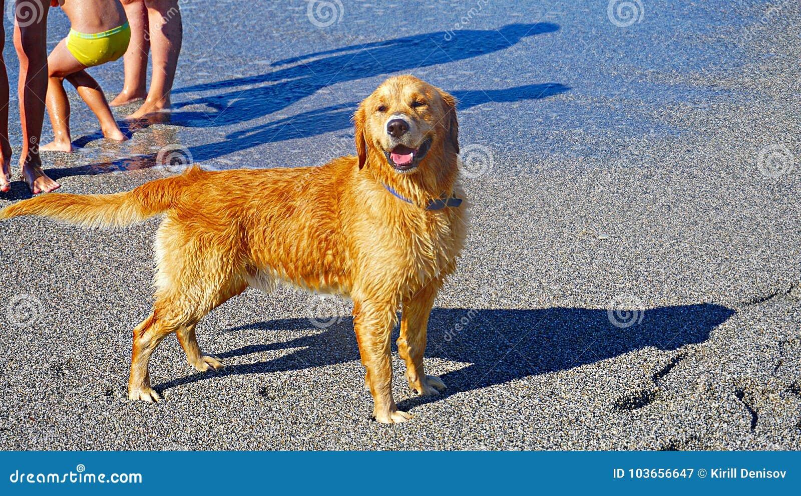 Χρυσό Retriever παιχνίδι σκυλιών στη Μεσόγειο Ευτυχές κουτάβι που απολαμβάνει το παιχνίδι με τον ιδιοκτήτη του Φιλικό απόθεμα σκυ