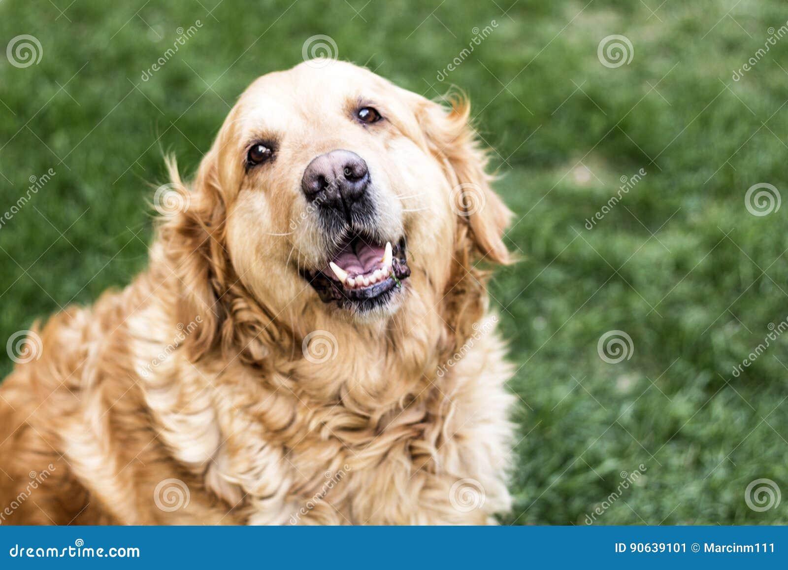 χρυσό retriever σκυλιών