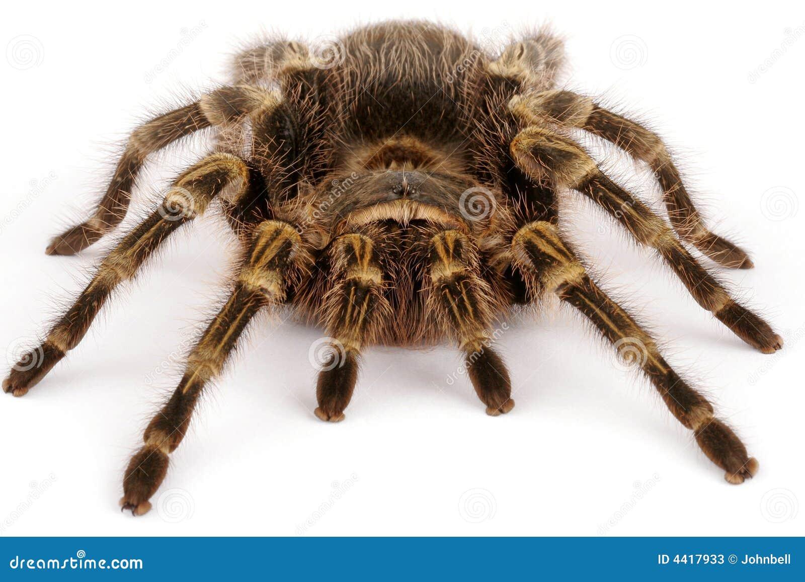 χρυσό tarantula γονάτων chaco
