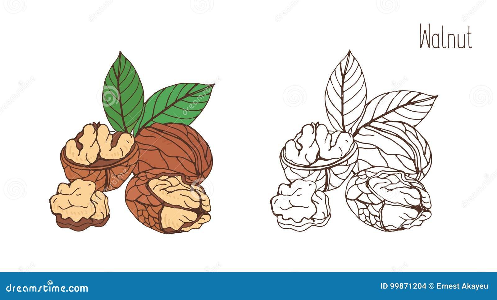 Χρωματισμένα και μονοχρωματικά σχέδια του ξύλου καρυδιάς στο κοχύλι και ξεφλουδισμένος με το ζευγάρι των φύλλων Εύγευστο εδώδιμο