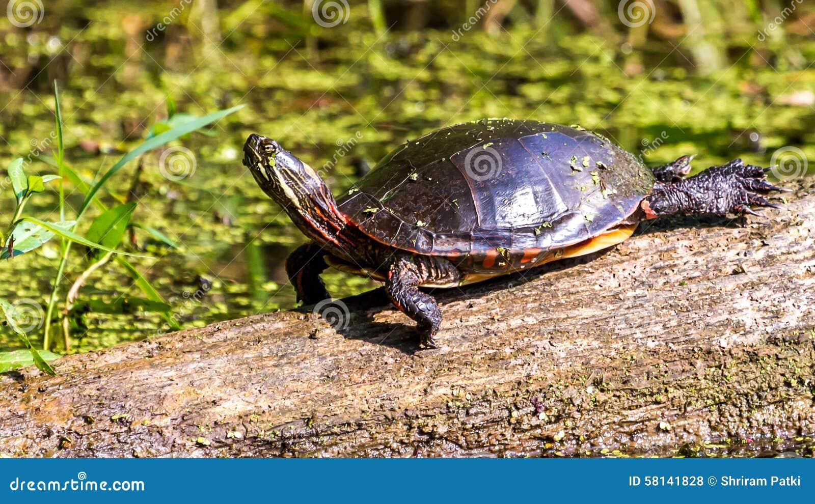 Χρωματισμένη Midland χελώνα