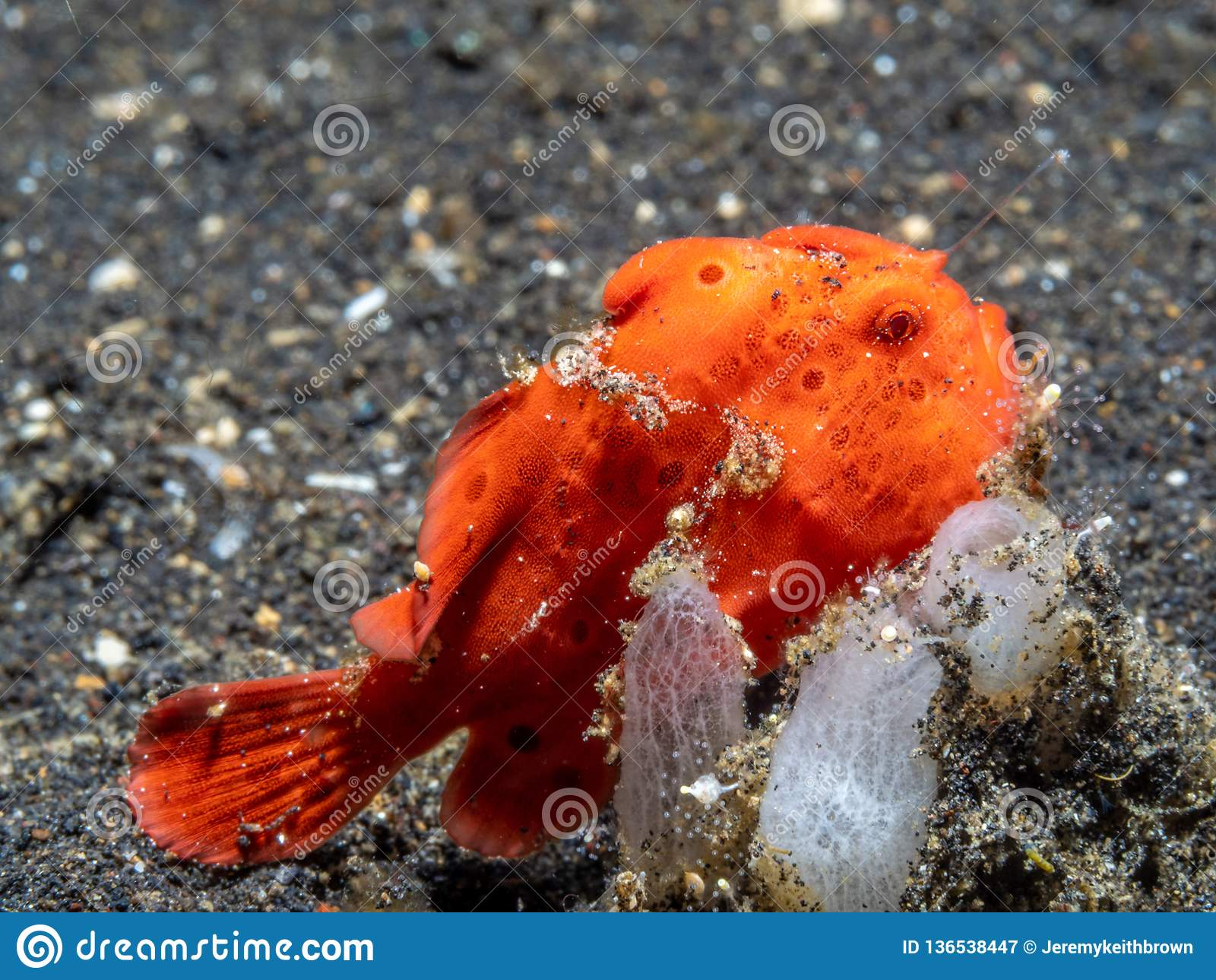 Χρωματισμένος frogfish, pictus Antennarius Pulisan, Ινδονησία