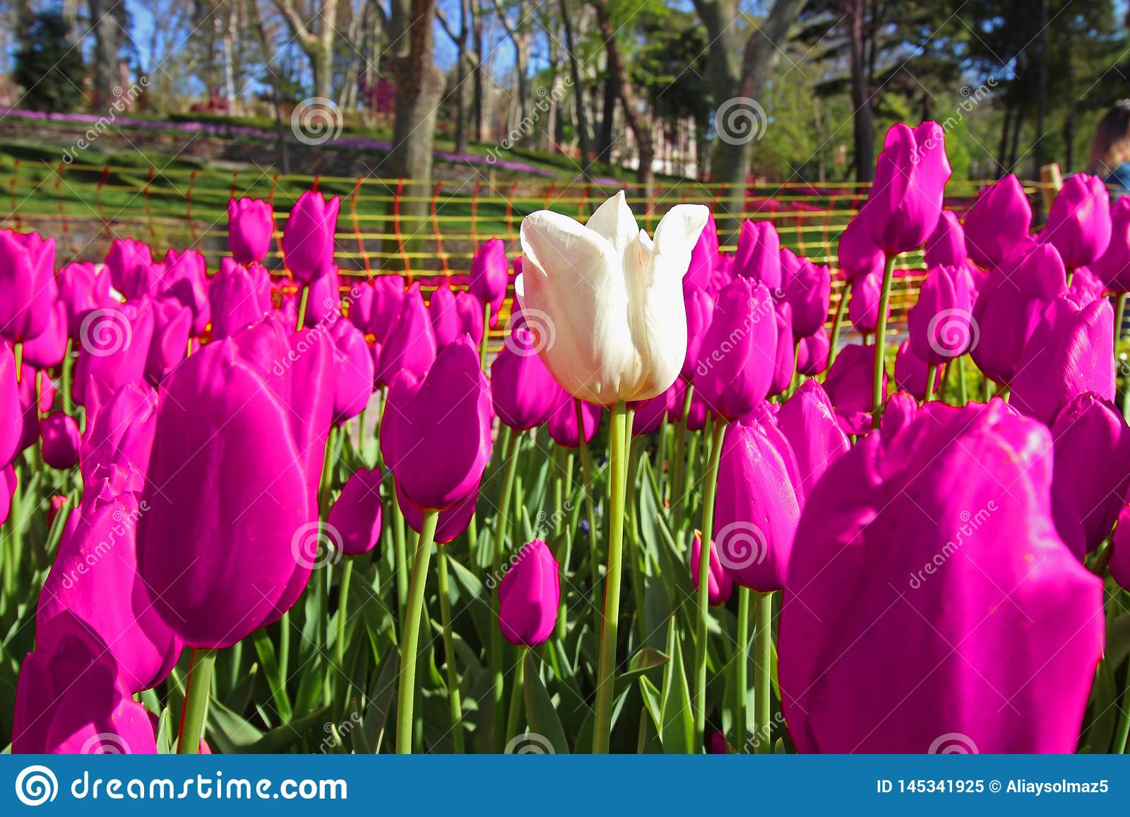 Χρόνος άνοιξη για τον Απρίλιο του 2019 της Ιστανμπούλ, τομέας τουλιπών, ζ