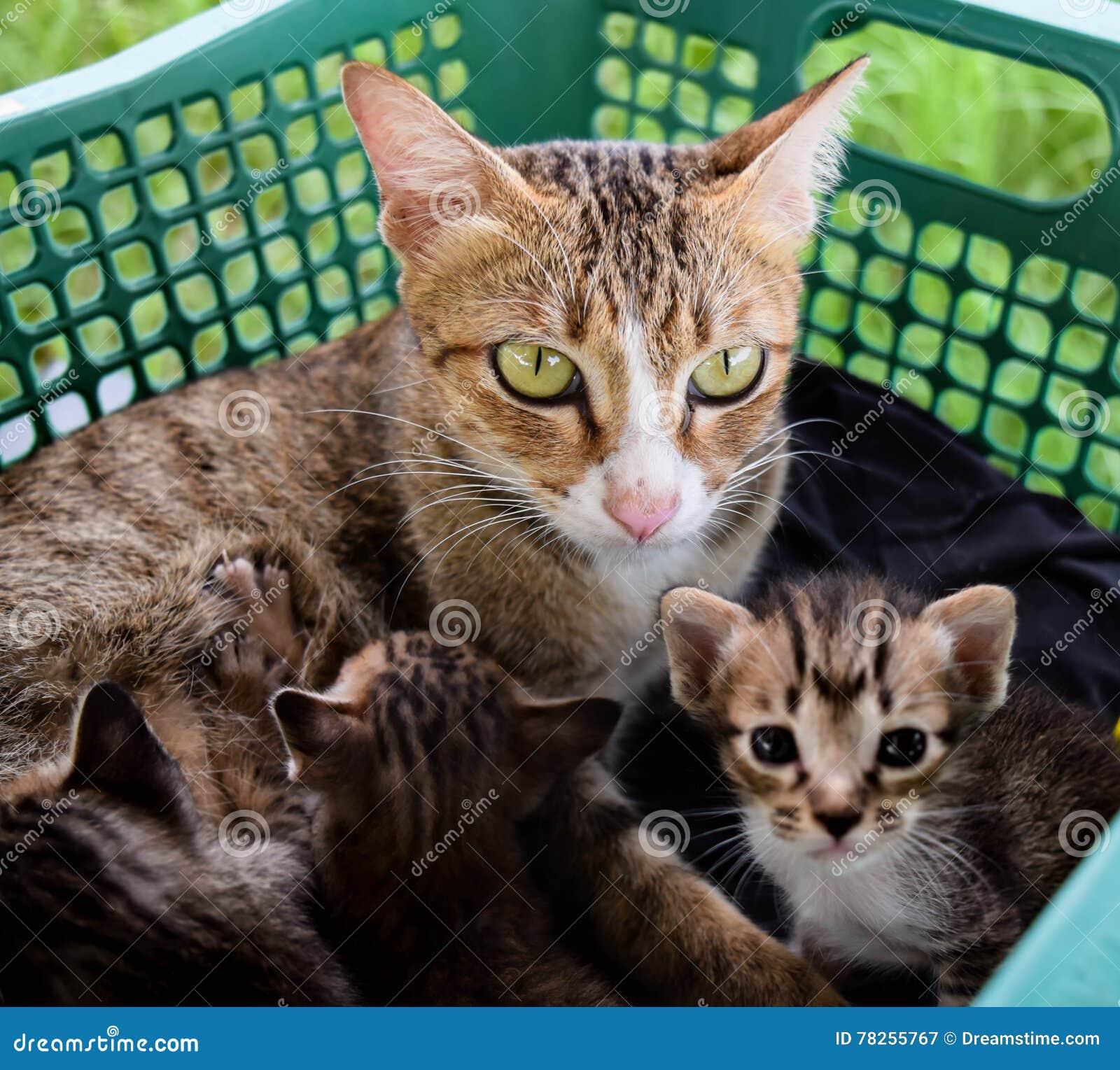 χρώμα οικογενειακών γατών καφετί