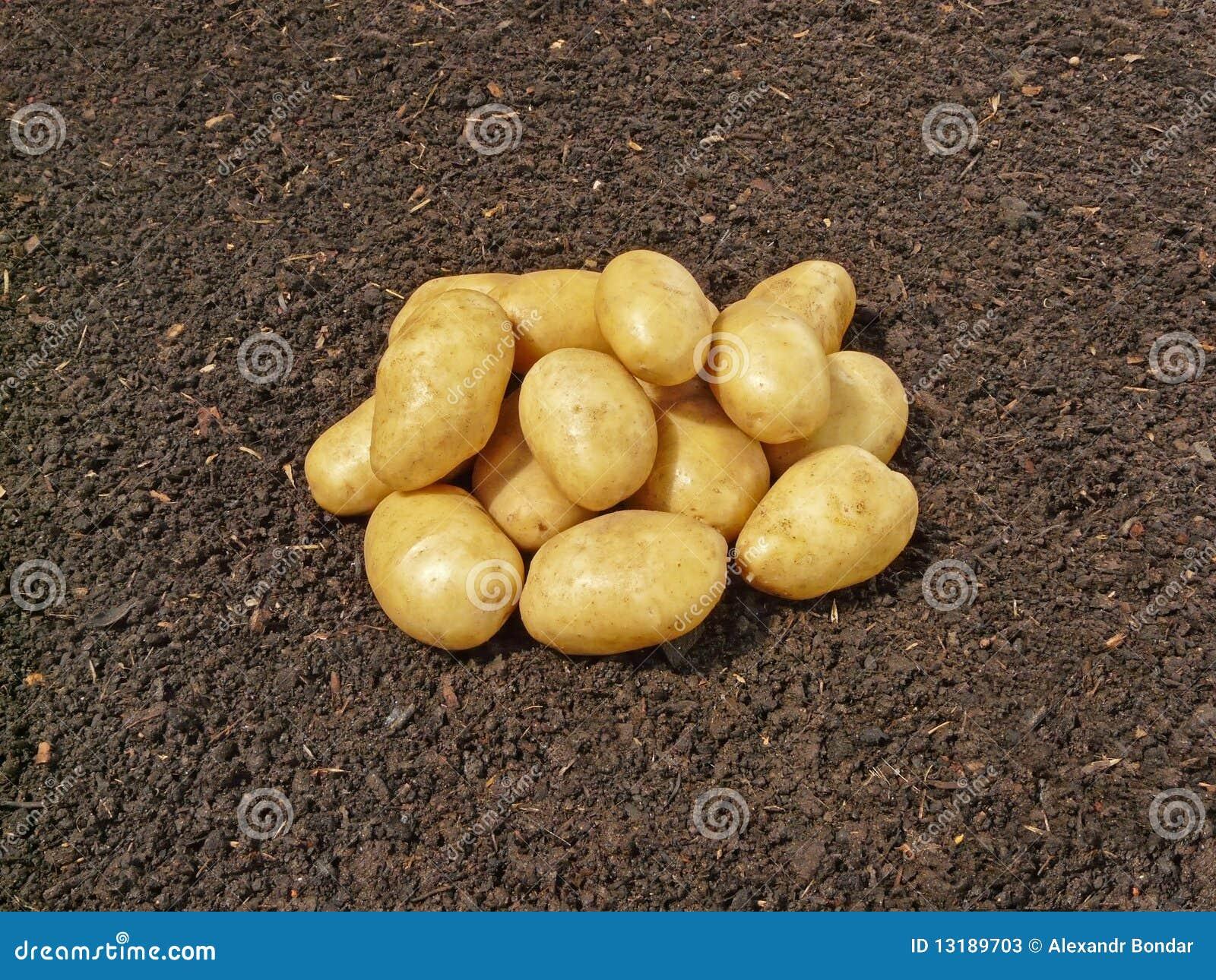 χώμα πατατών