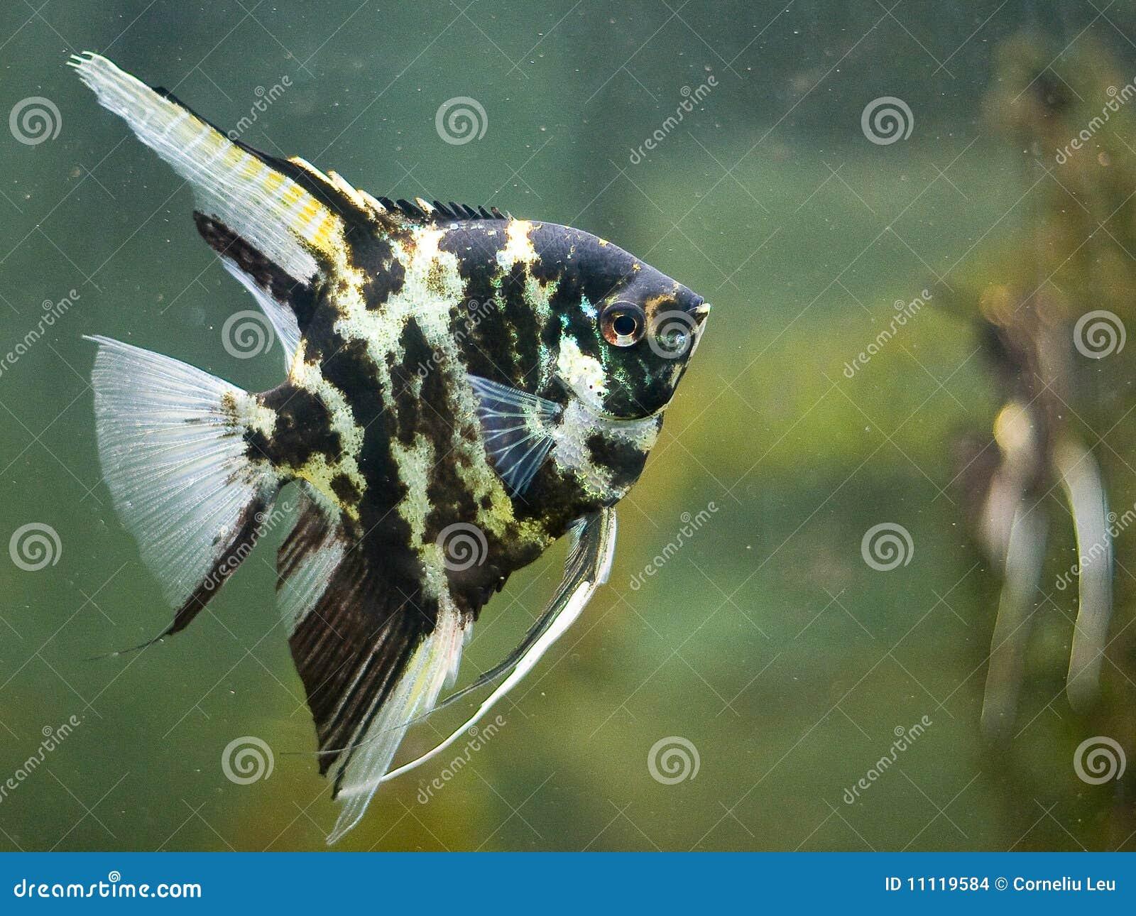ψάρια αγγέλου