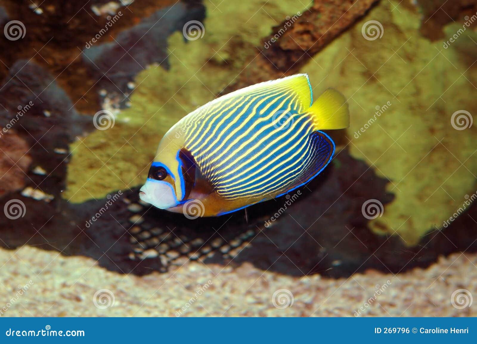 ψάρια αυτοκρατόρων