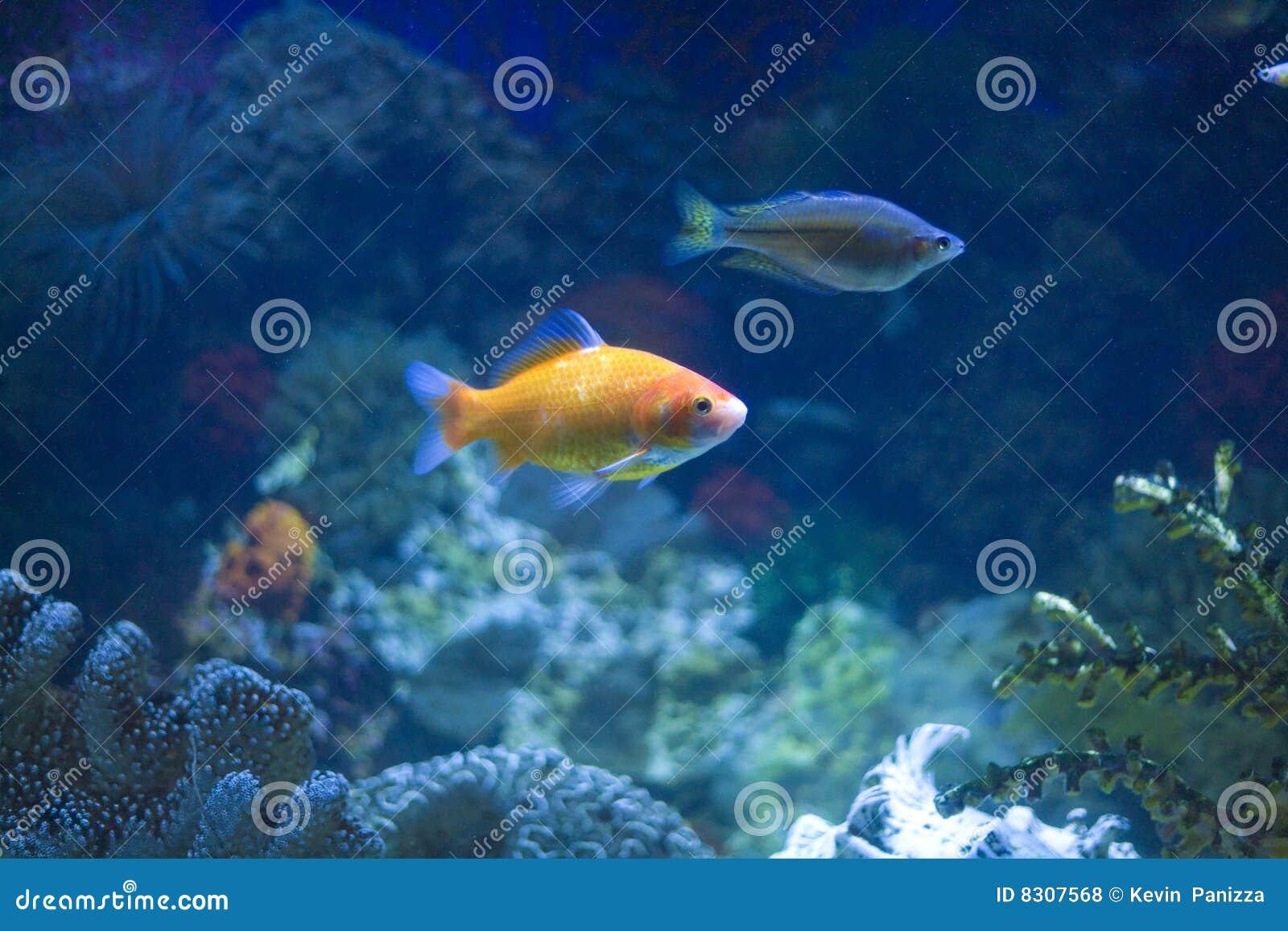 ψάρια ενυδρείων τροπικά