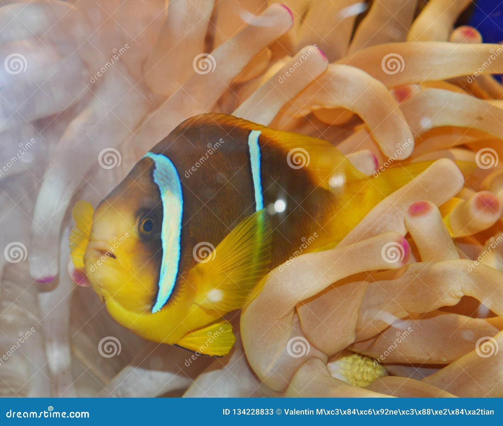 Ψάρια κλόουν που κολυμπούν στο anemone