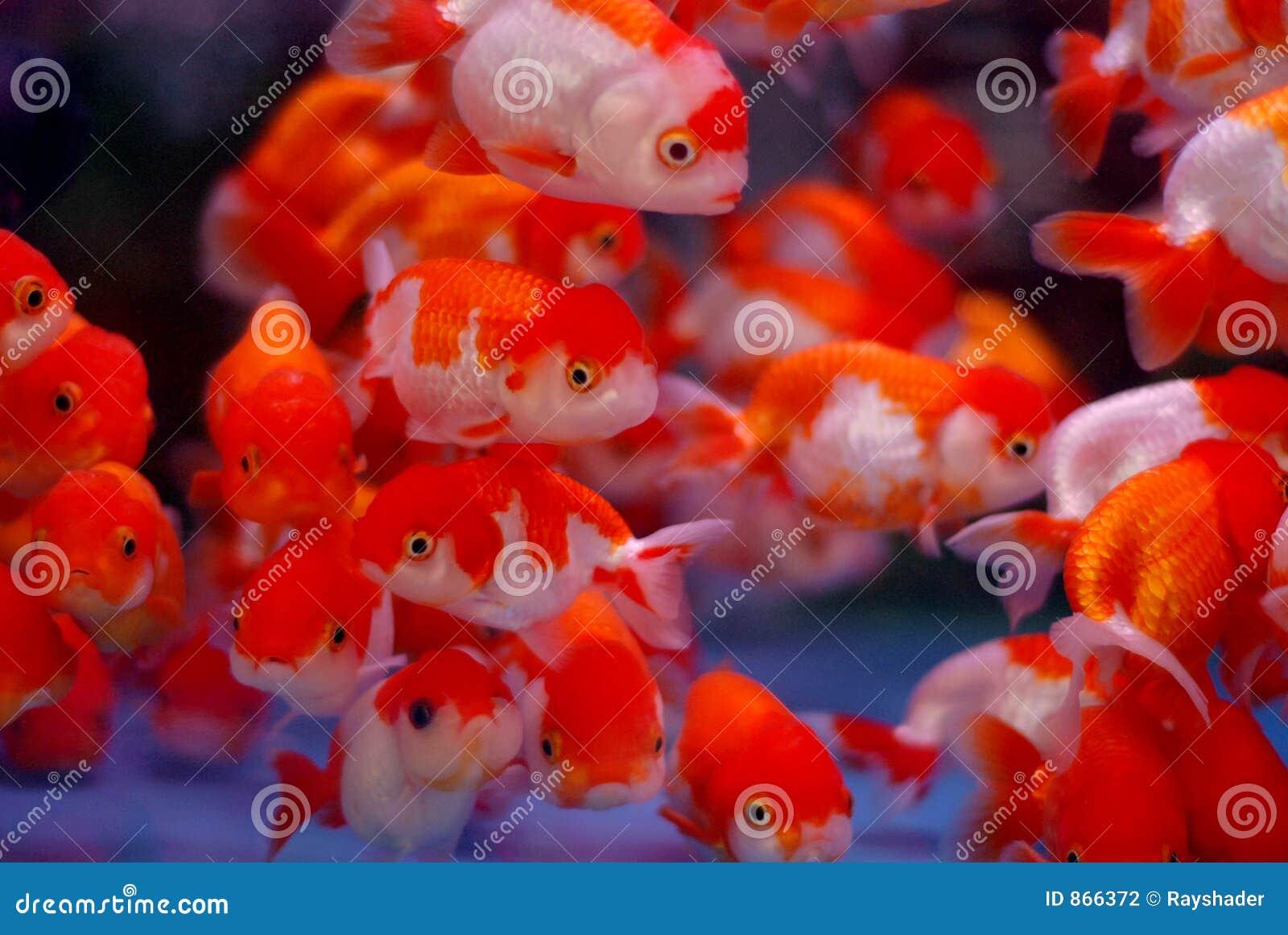 ψάρια κλόουν