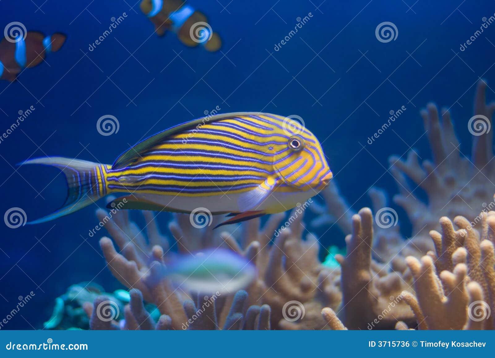 ψάρια κοραλλιών