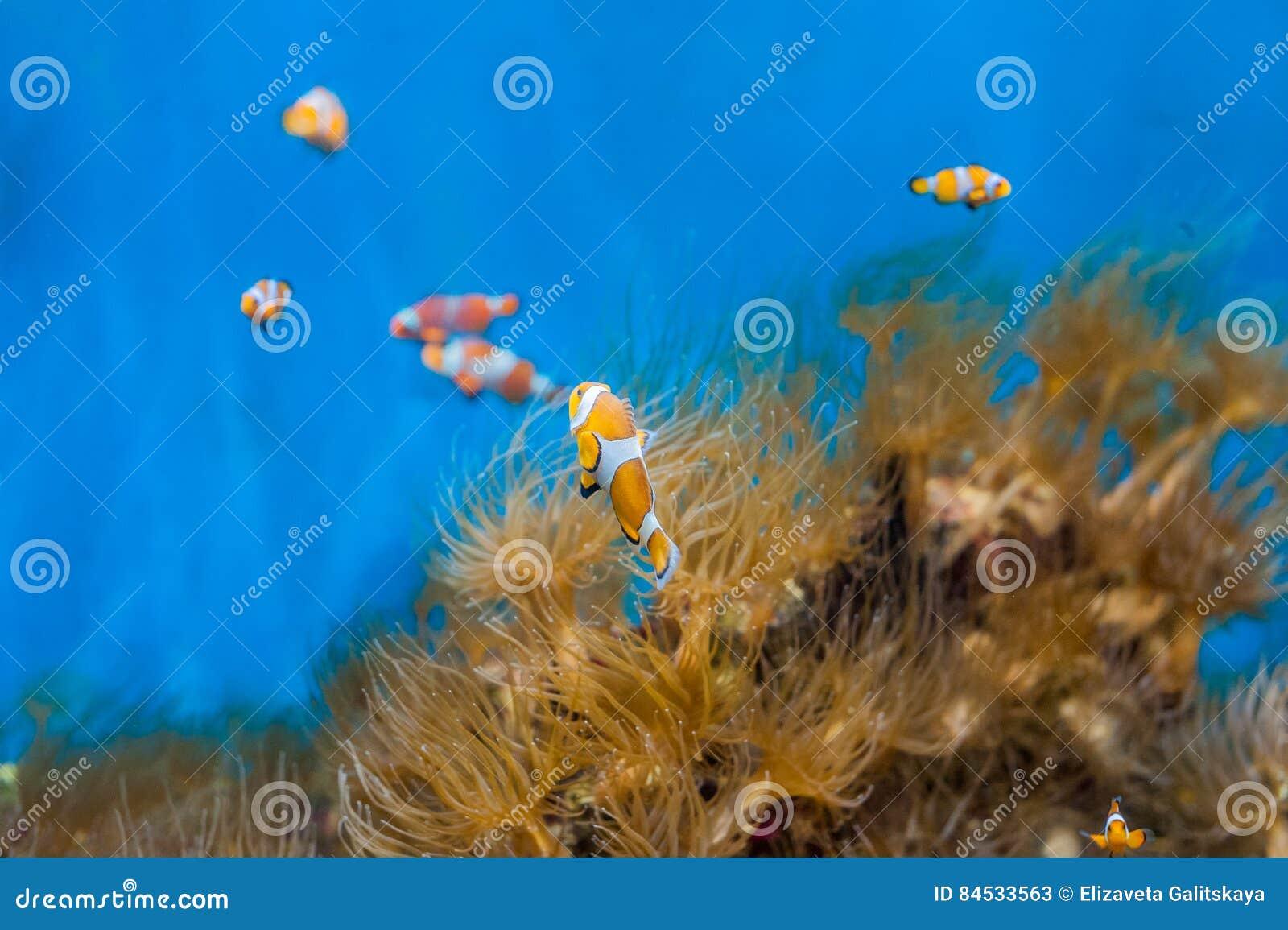 Ψάρια κλόουν και anemones σε ένα μπλε υπόβαθρο