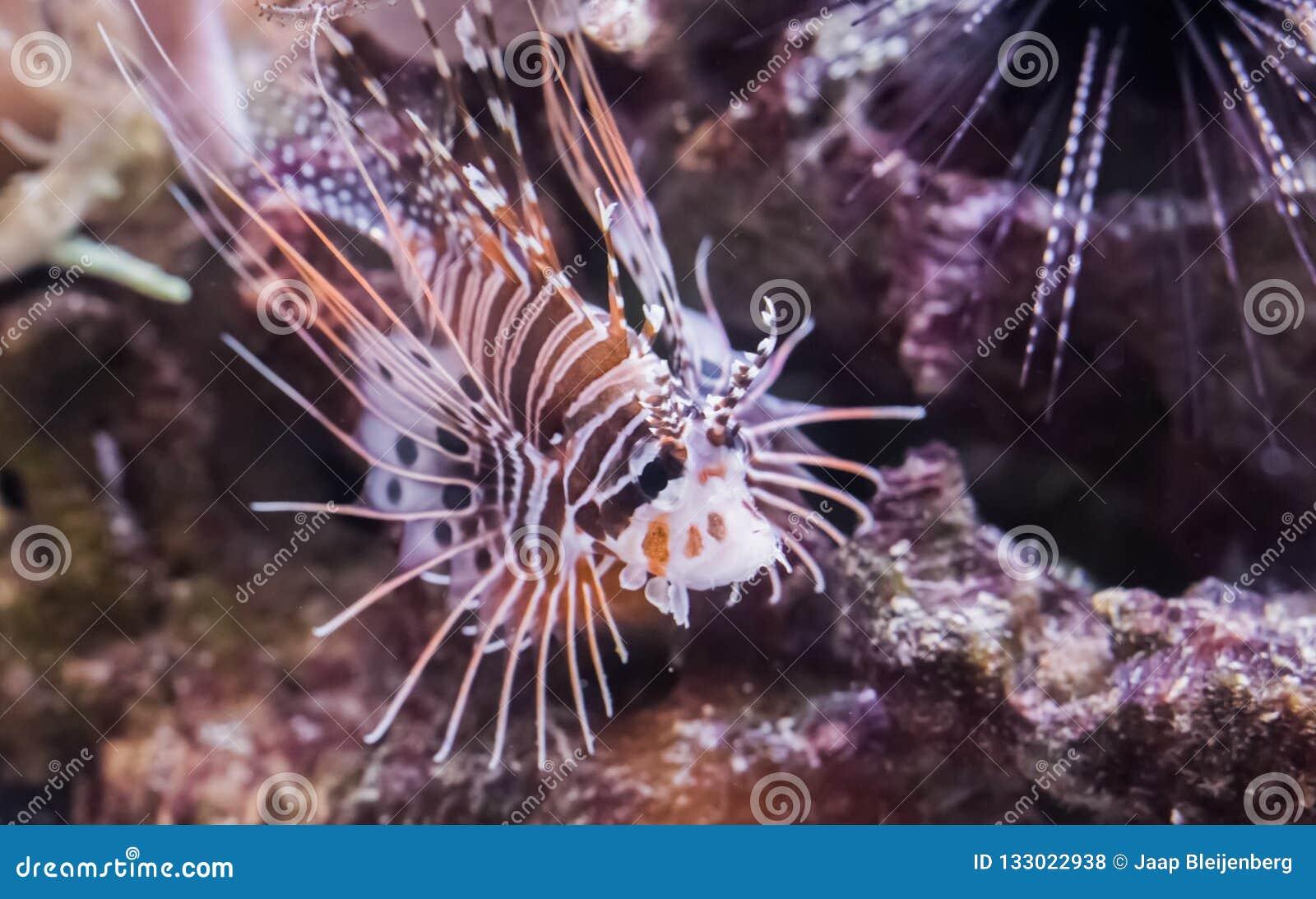 Ψάρια λιονταριών πτερυγίων σημείων, ένα τροπικό νάνο κατοικίδιο ζώο ενυδρείων από το Ειρηνικό Ωκεανό