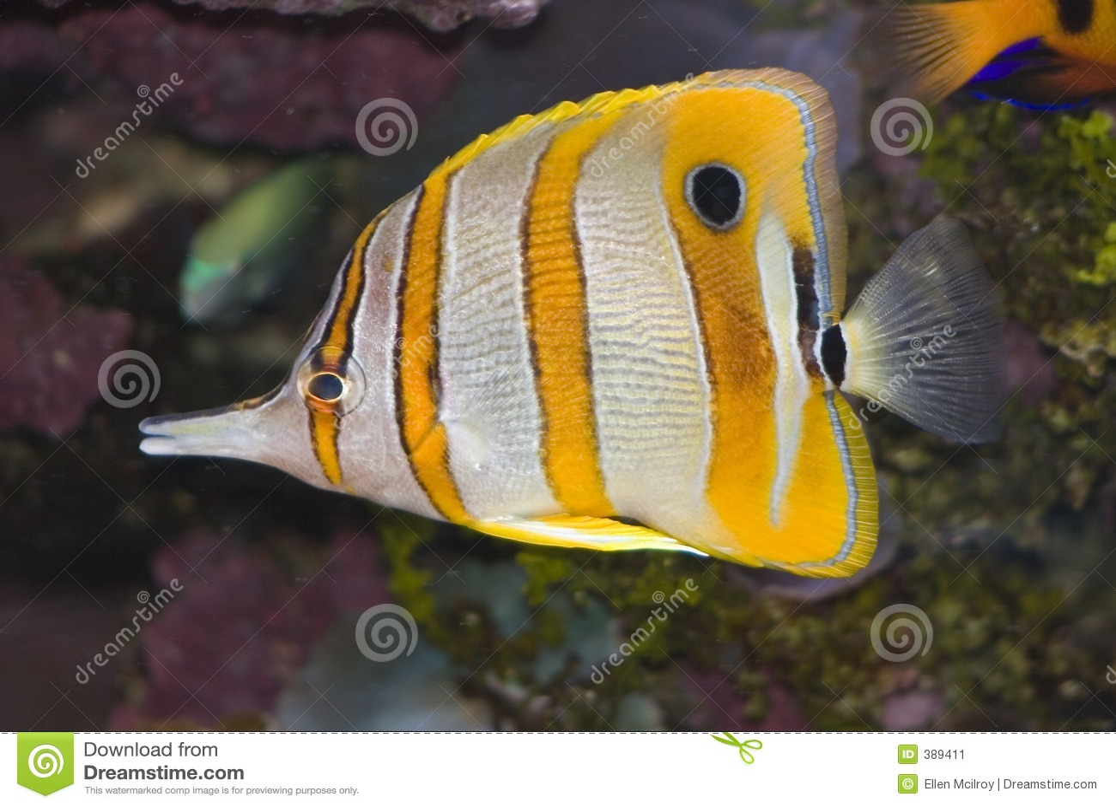 ψάρια πεταλούδων copperband