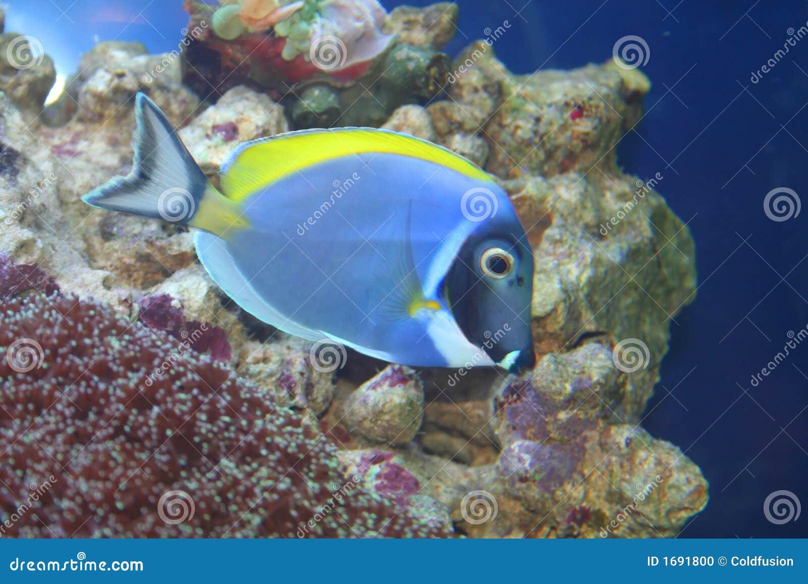 ψάρια acanthurus leucosternon τροπικά