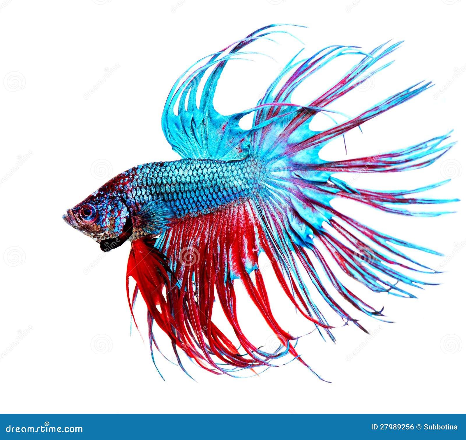 Ψάρια Betta