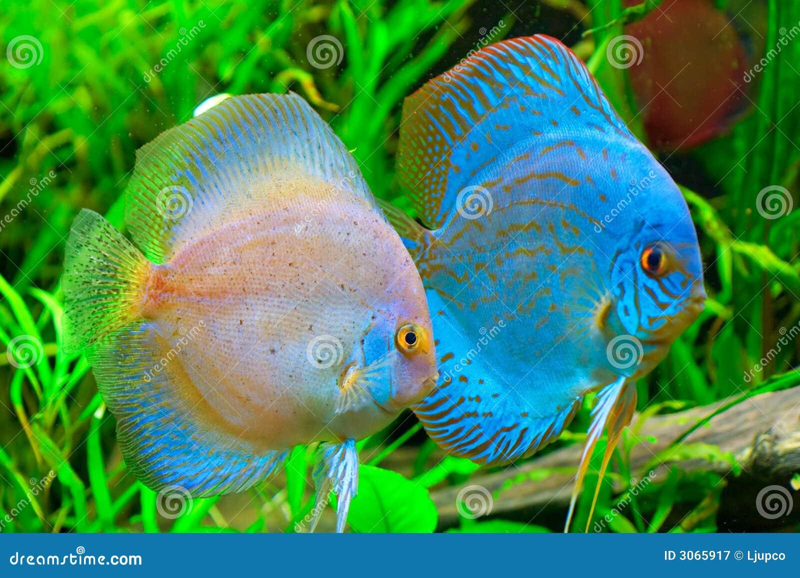 ψάρια discus
