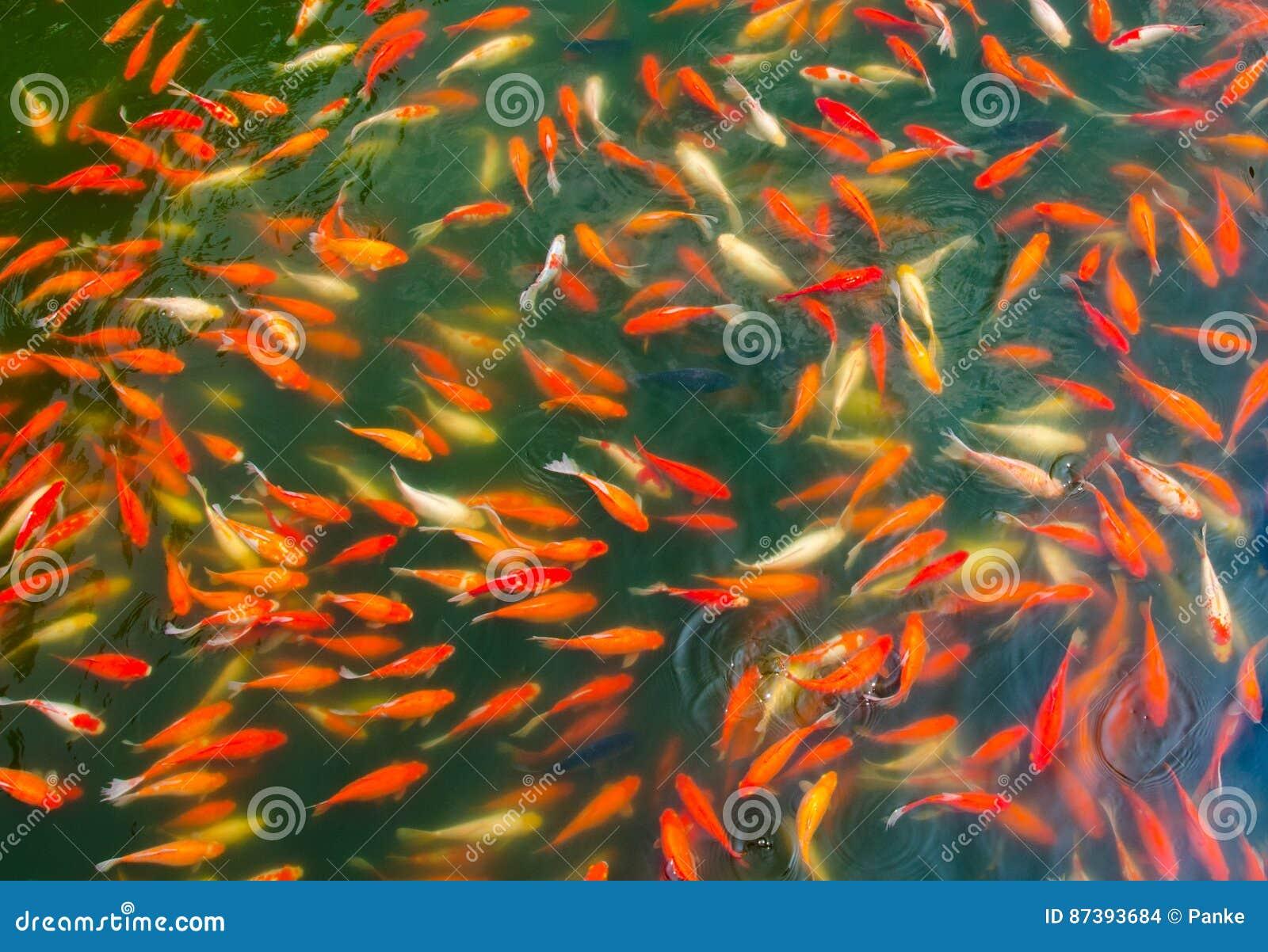 Ψάρια Koi σε μια λίμνη