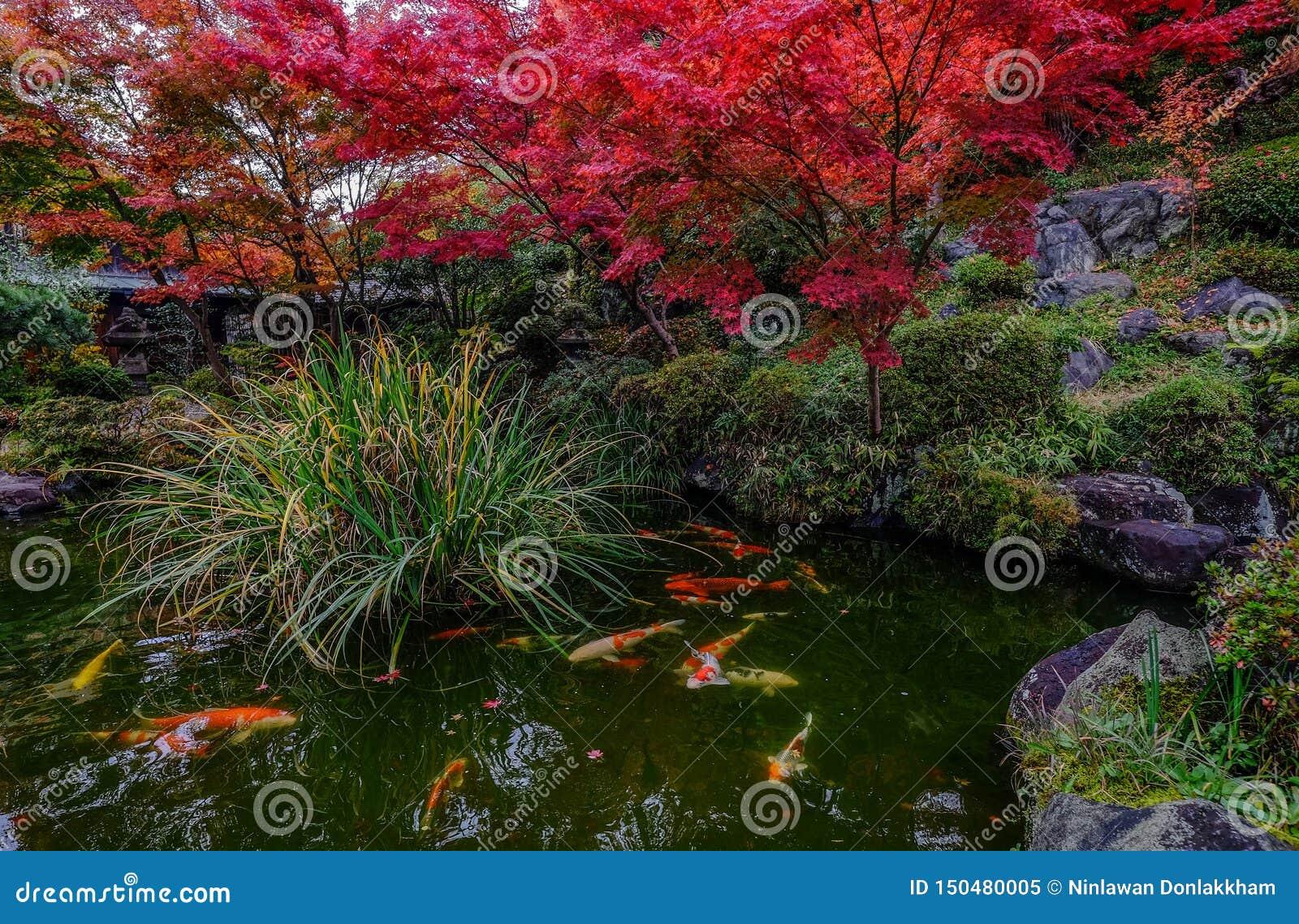 Ψάρια Koi στη λίμνη στο Κιότο, Ιαπωνία