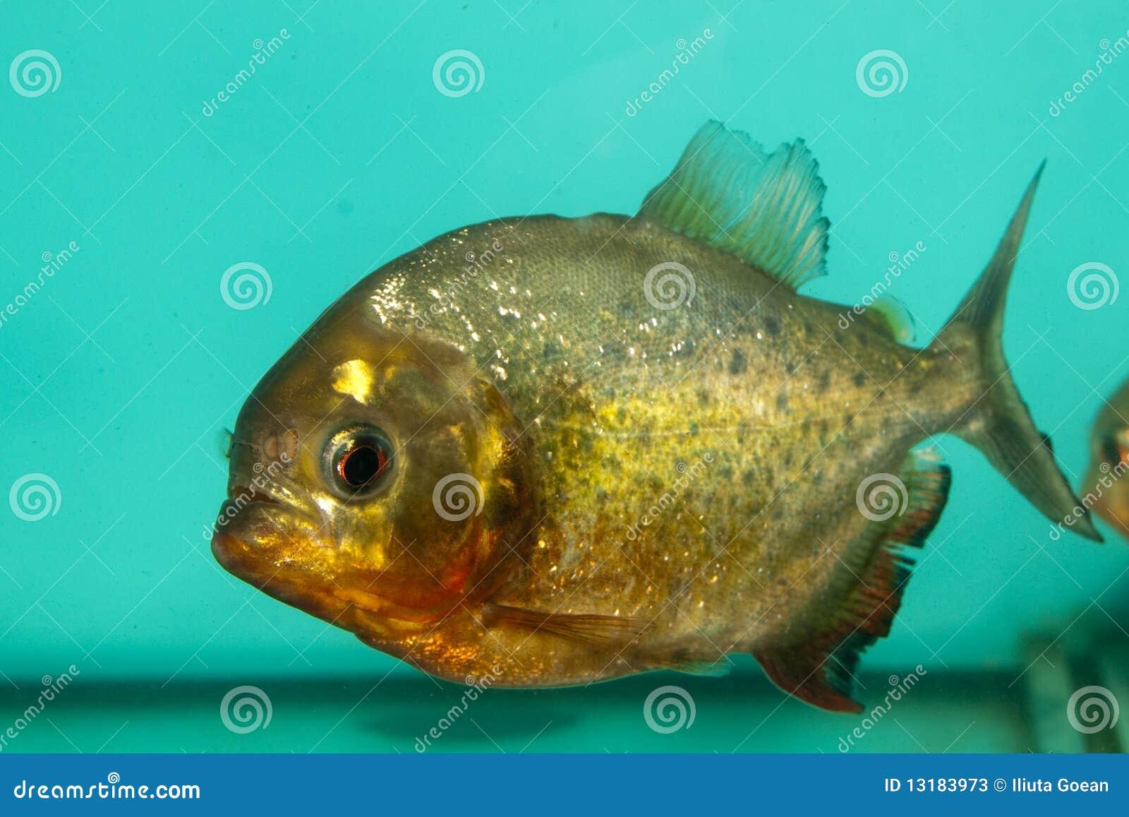 Ψάρια Piranha στο ενυδρείο