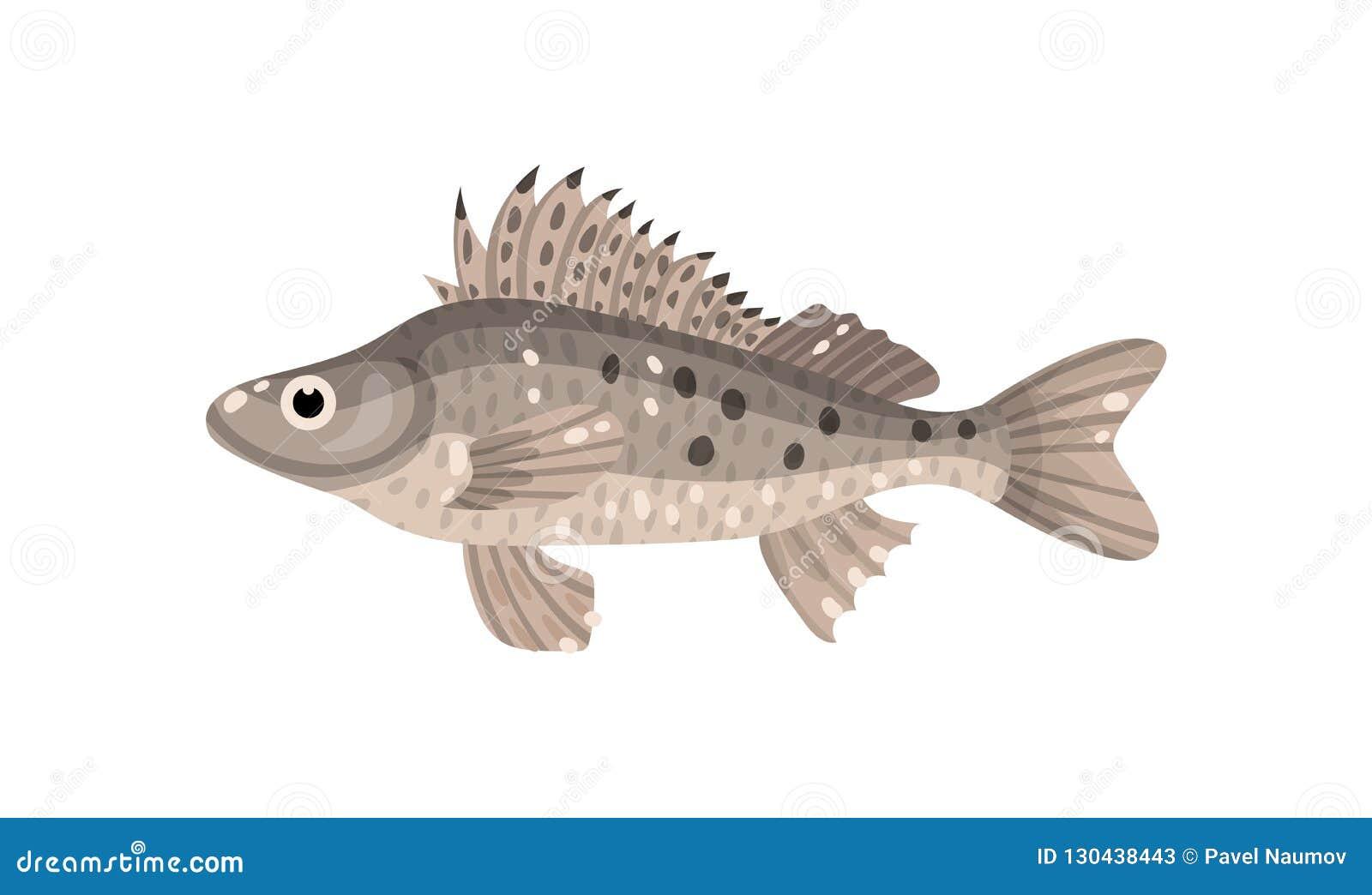 Ψάρια Ruffe με τα ακανθωτά πτερύγια Αρπακτικό θαλάσσιο ζώο Πλάσμα θάλασσας Υποβρύχιο θέμα ζωής Επίπεδο διανυσματικό σχέδιο