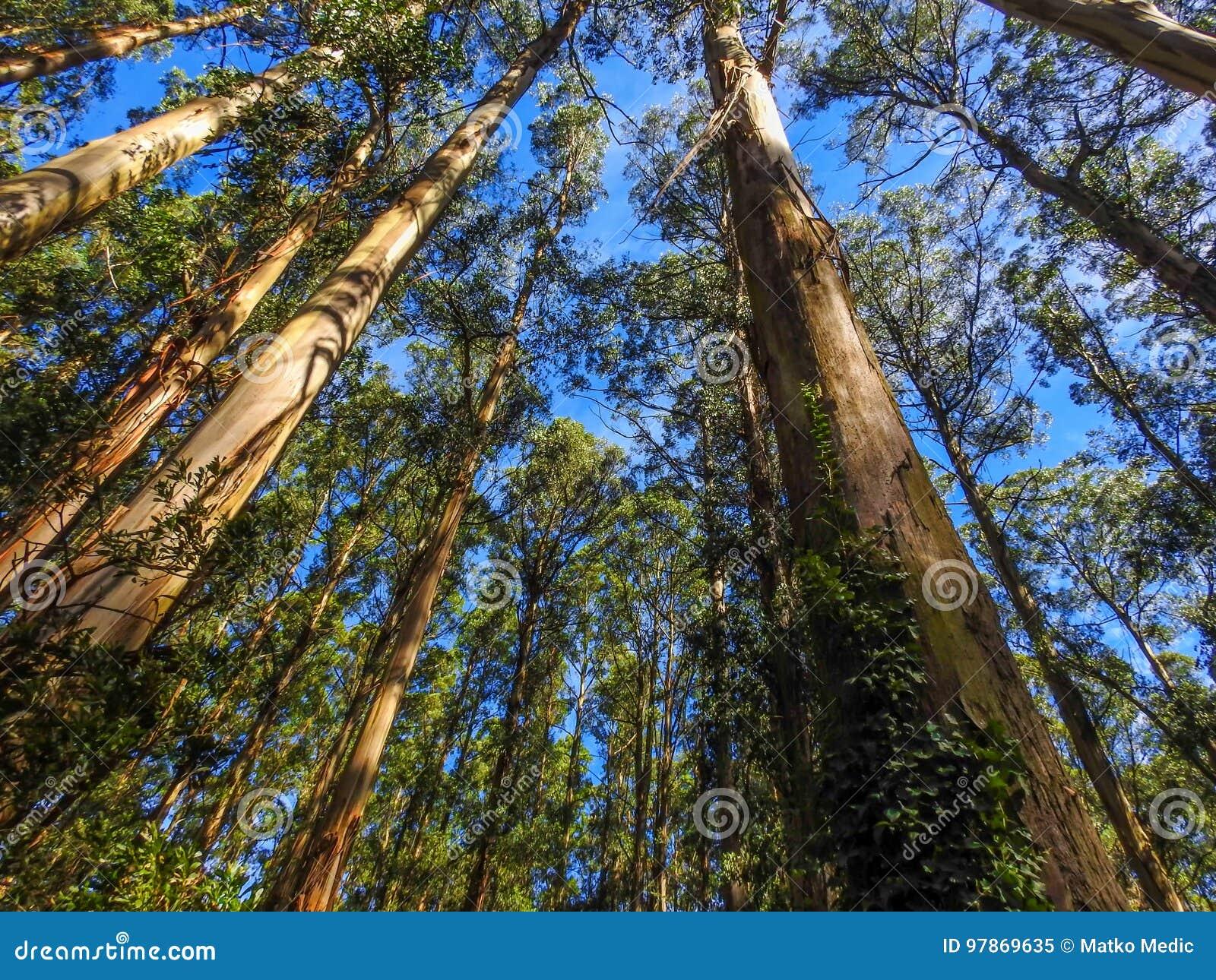 Ψηλά δέντρα τέφρας βουνών